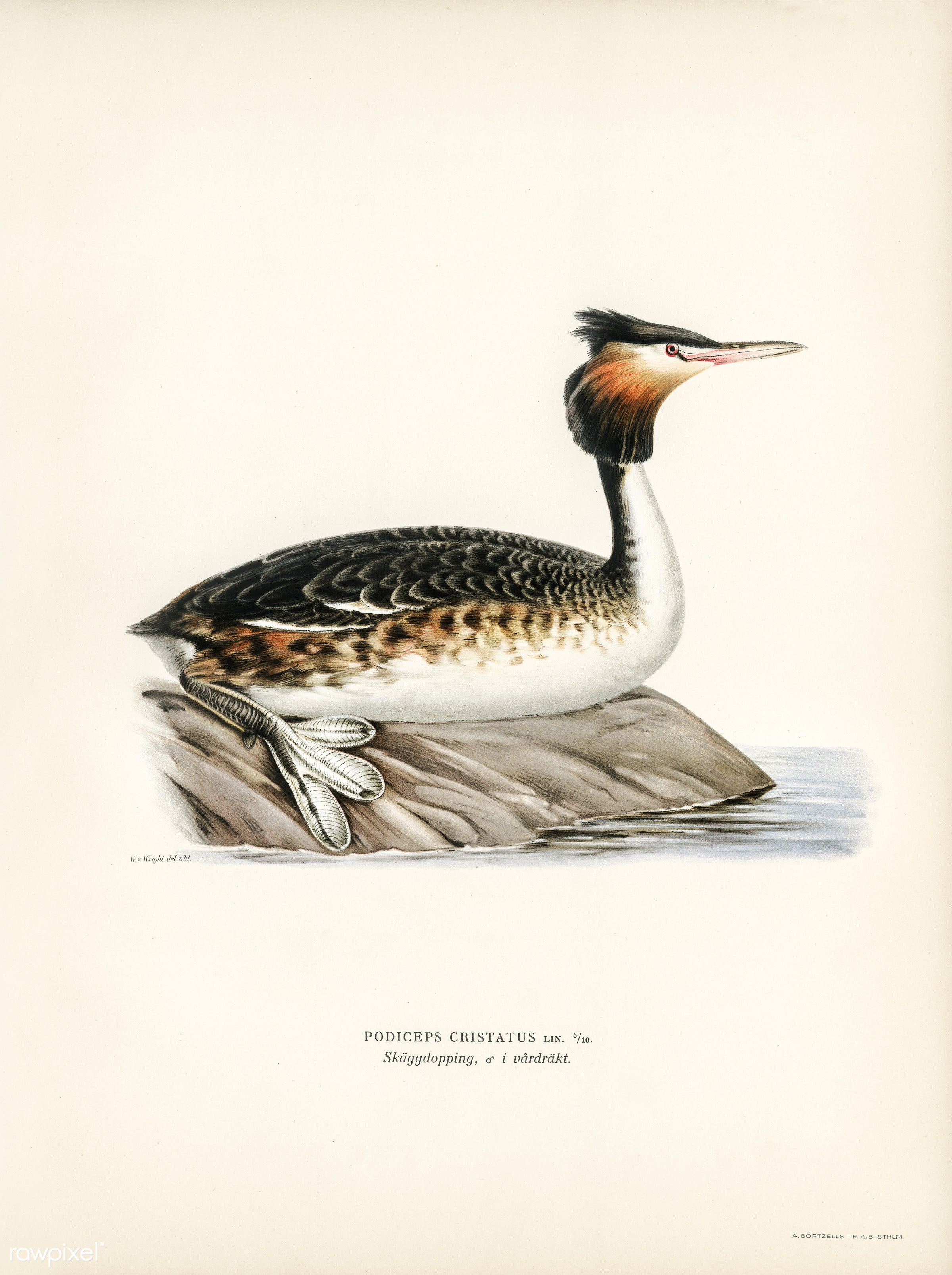 Podiceps cristatus illustrated by the von Wright brothers. Digitally enhanced from our own 1929 folio version of Svenska F...