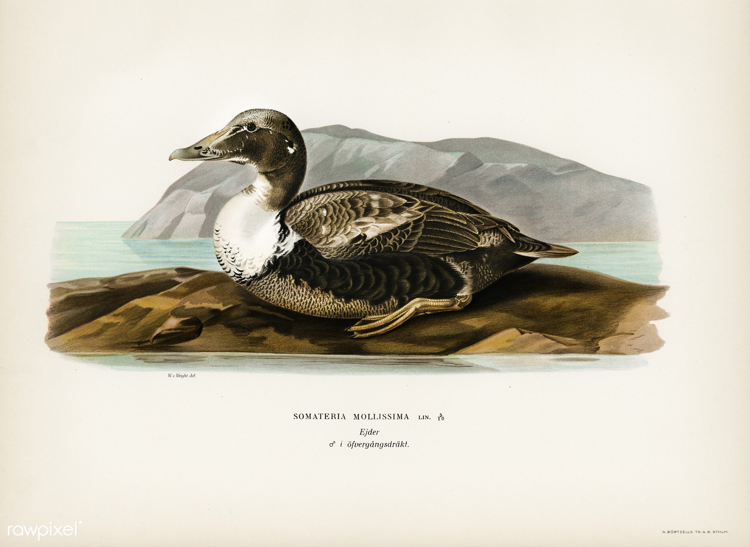 Eider (Somateria mollissima) illustrated by the von Wright brothers. Digitally enhanced from our own 1929 folio version of...