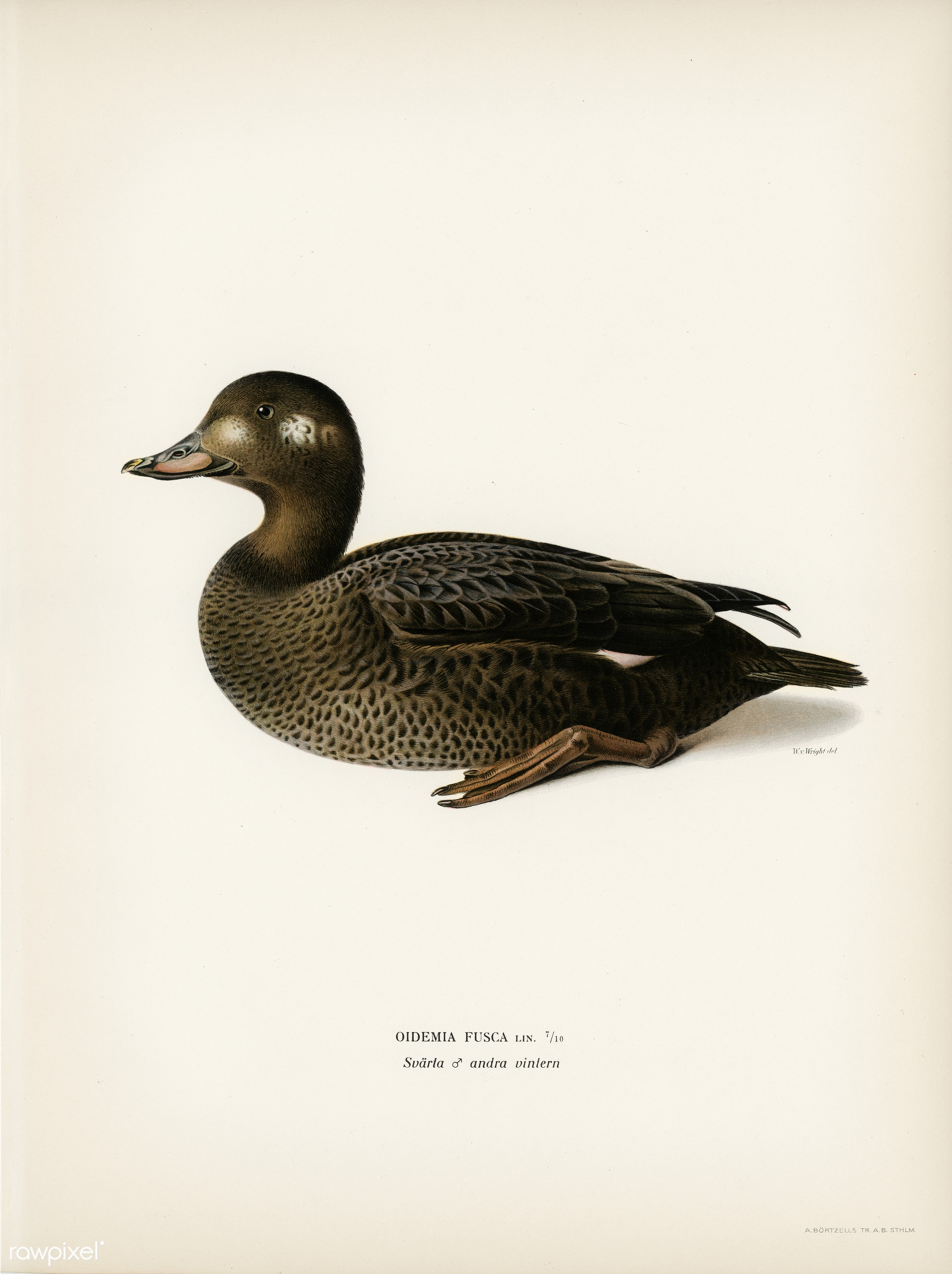 Velvet Scoter male (Oidemia fusca) illustrated by the von Wright brothers. Digitally enhanced from our own 1929 folio...