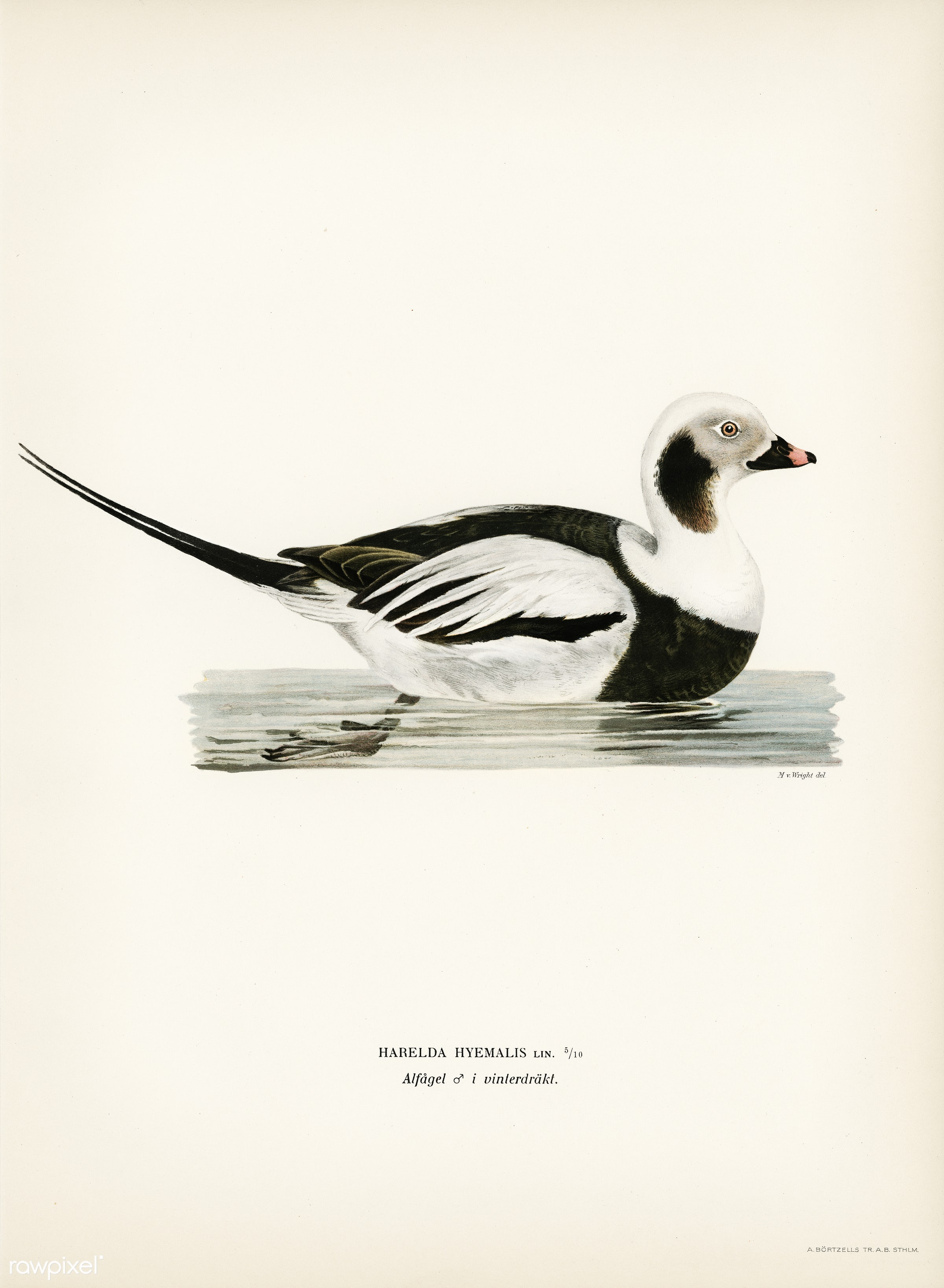 Long-tailed Duck male (Harelda hyemalis) illustrated by the von Wright brothers. Digitally enhanced from our own 1929 folio...