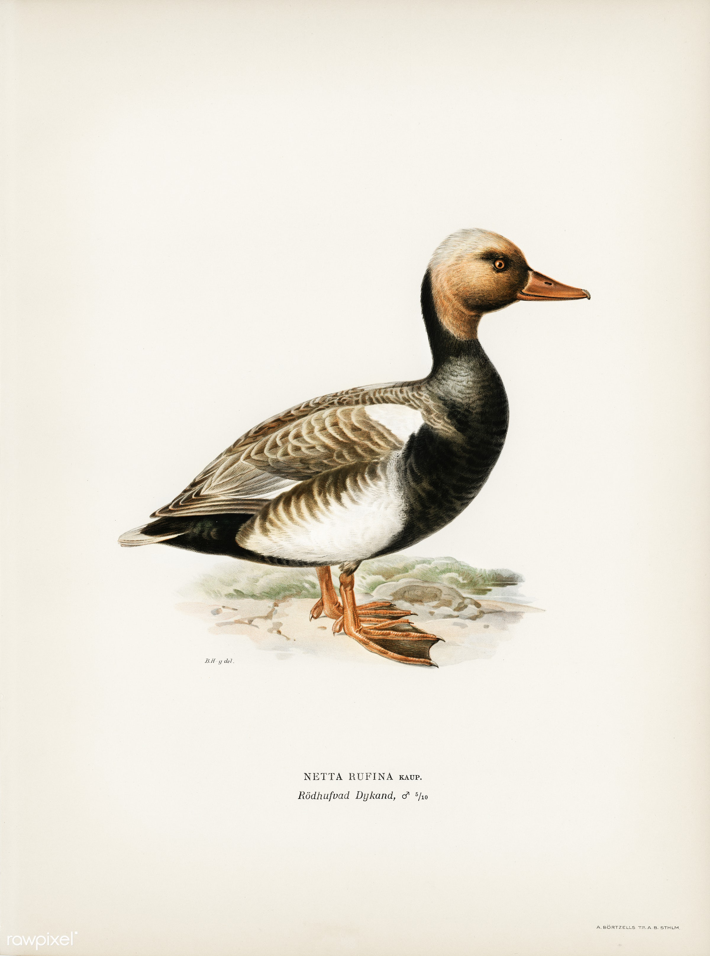Red-crested Pochard (Netta rufina) illustrated by the von Wright brothers. Digitally enhanced from our own 1929 folio...