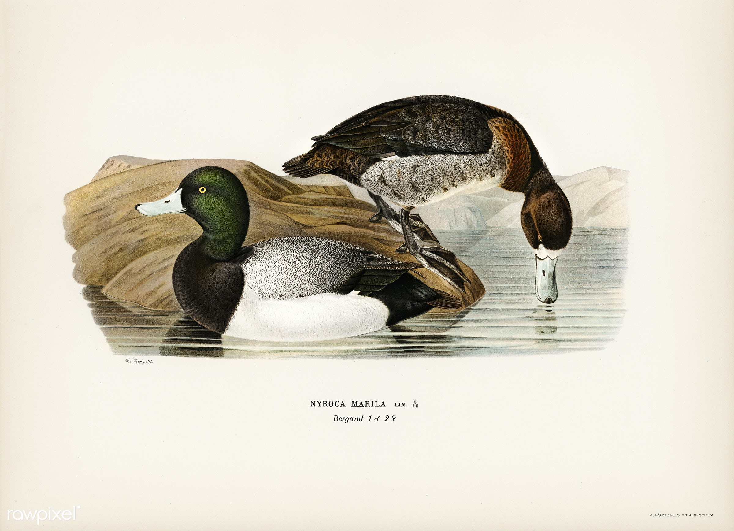 Greater Scaup, Scaup (Nyroca marila) illustrated by the von Wright brothers. Digitally enhanced from our own 1929 folio...