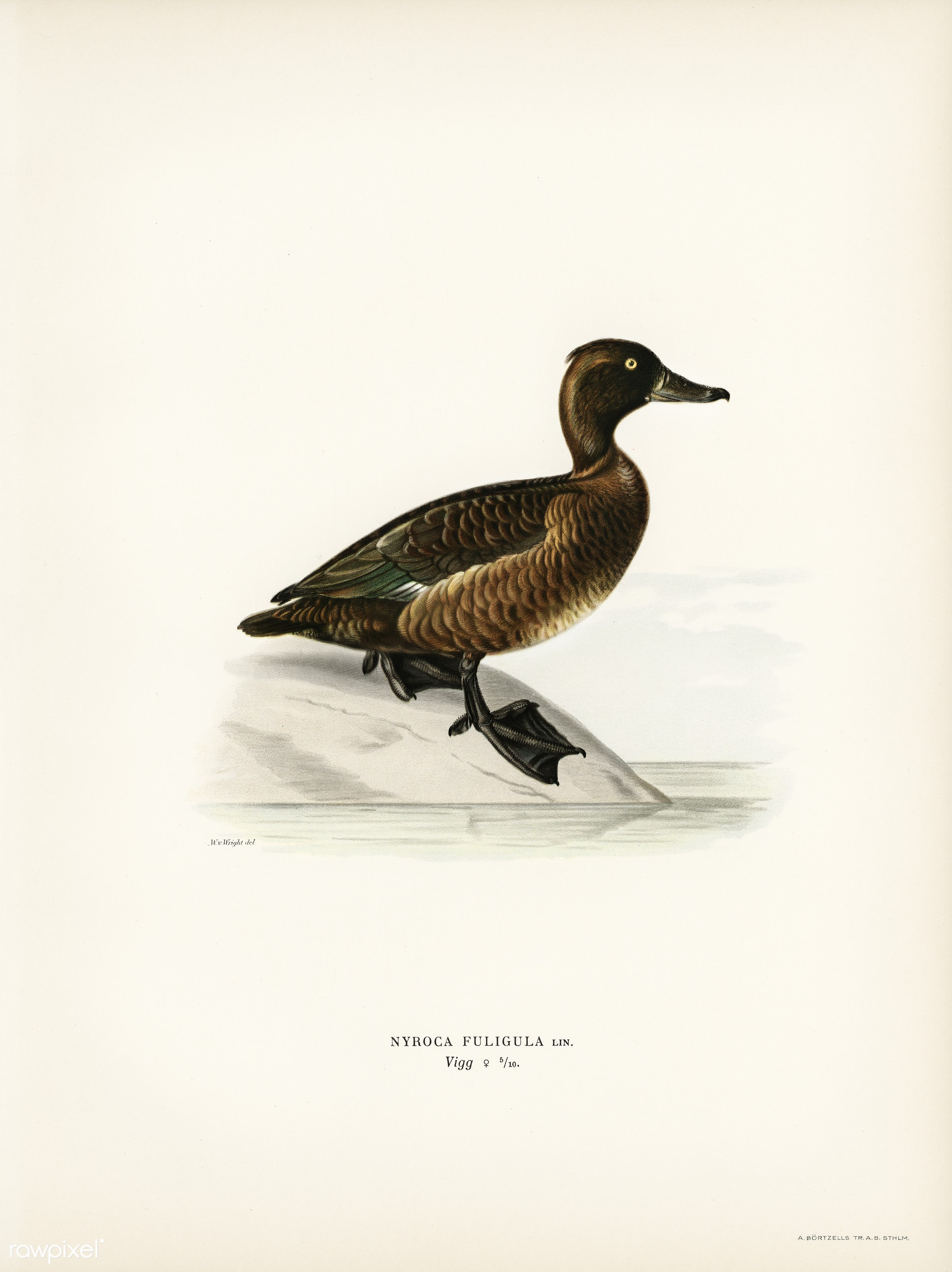 Ferruginous duck female (Nyroca fuligule) illustrated by the von Wright brothers. Digitally enhanced from our own 1929 folio...