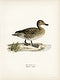 """Pintail (Anas acuta) illustrated by <a href=""""https://www.rawpixel.com/search/the%20von%20Wright%20brothers?"""">the von Wright brothers</a>. Digitally enhanced from our own 1929 folio version of Svenska F&aring;glar Efter Naturen Och Pa Sten Ritade."""
