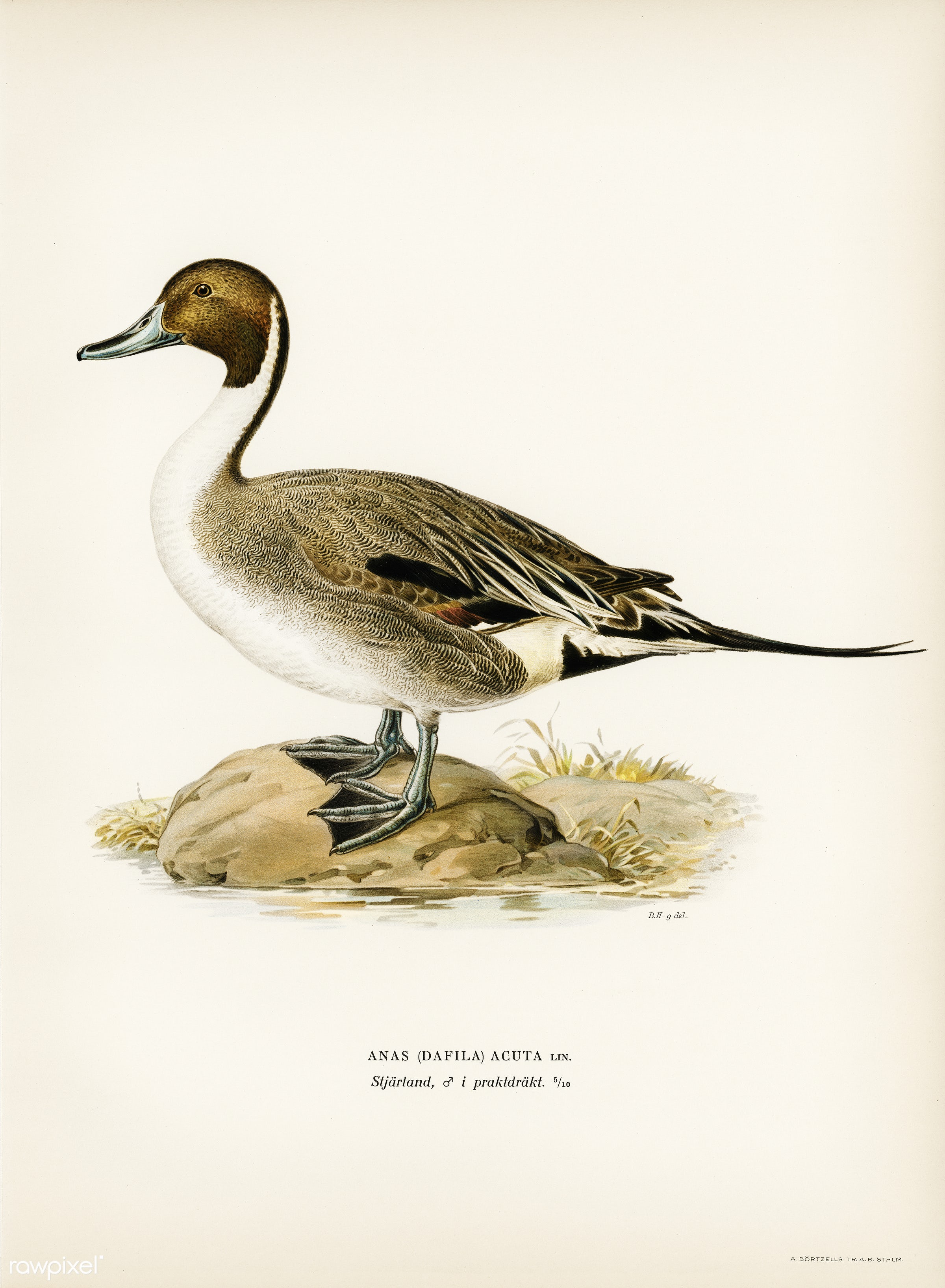 Northern Pintail (Anas(dafila) acuta) illustrated by the von Wright brothers. Digitally enhanced from our own 1929 folio...