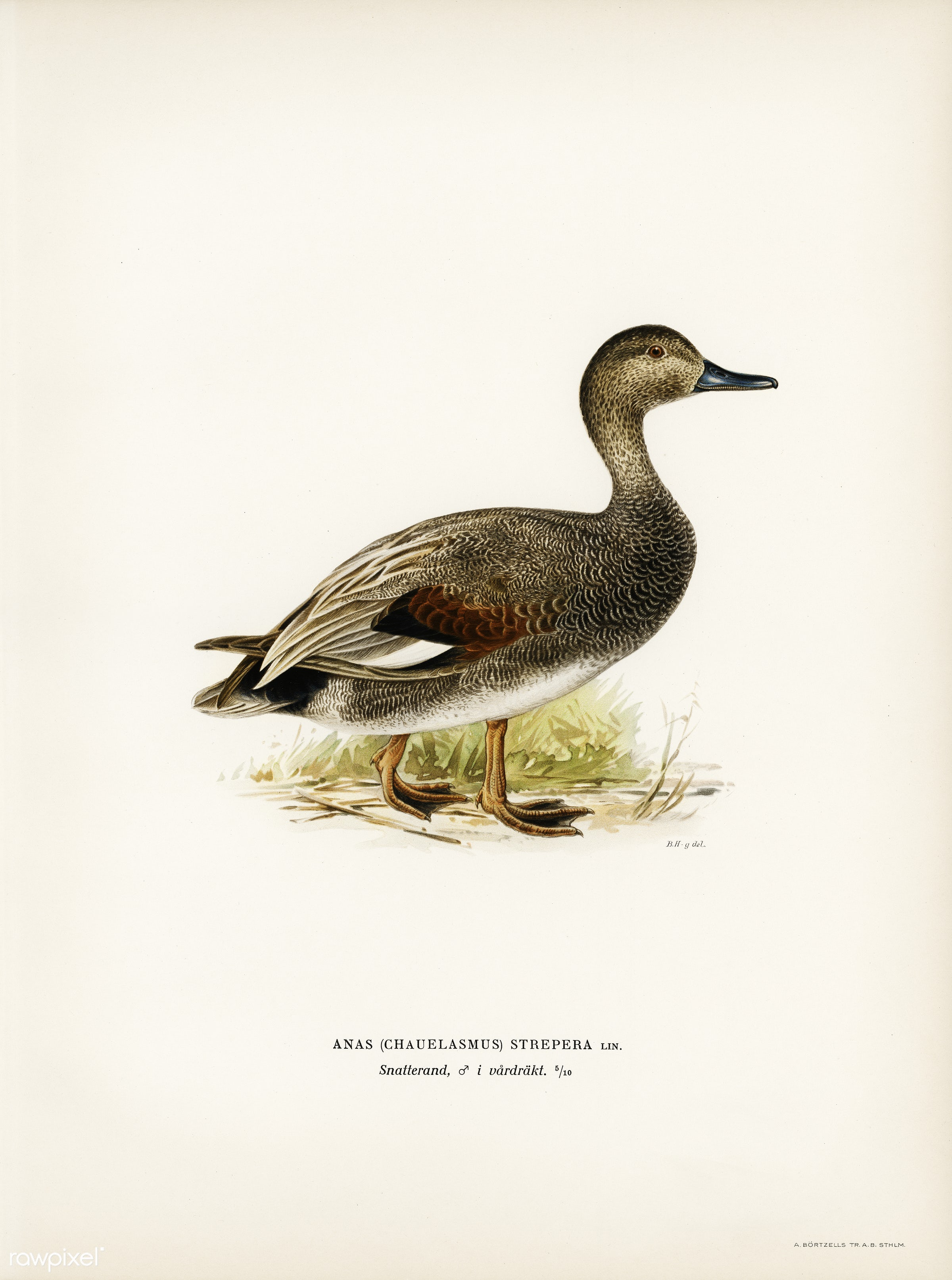Gadwall (Anas (Chauelasmus) Strepera) illustrated by the von Wright brothers. Digitally enhanced from our own 1929 folio...