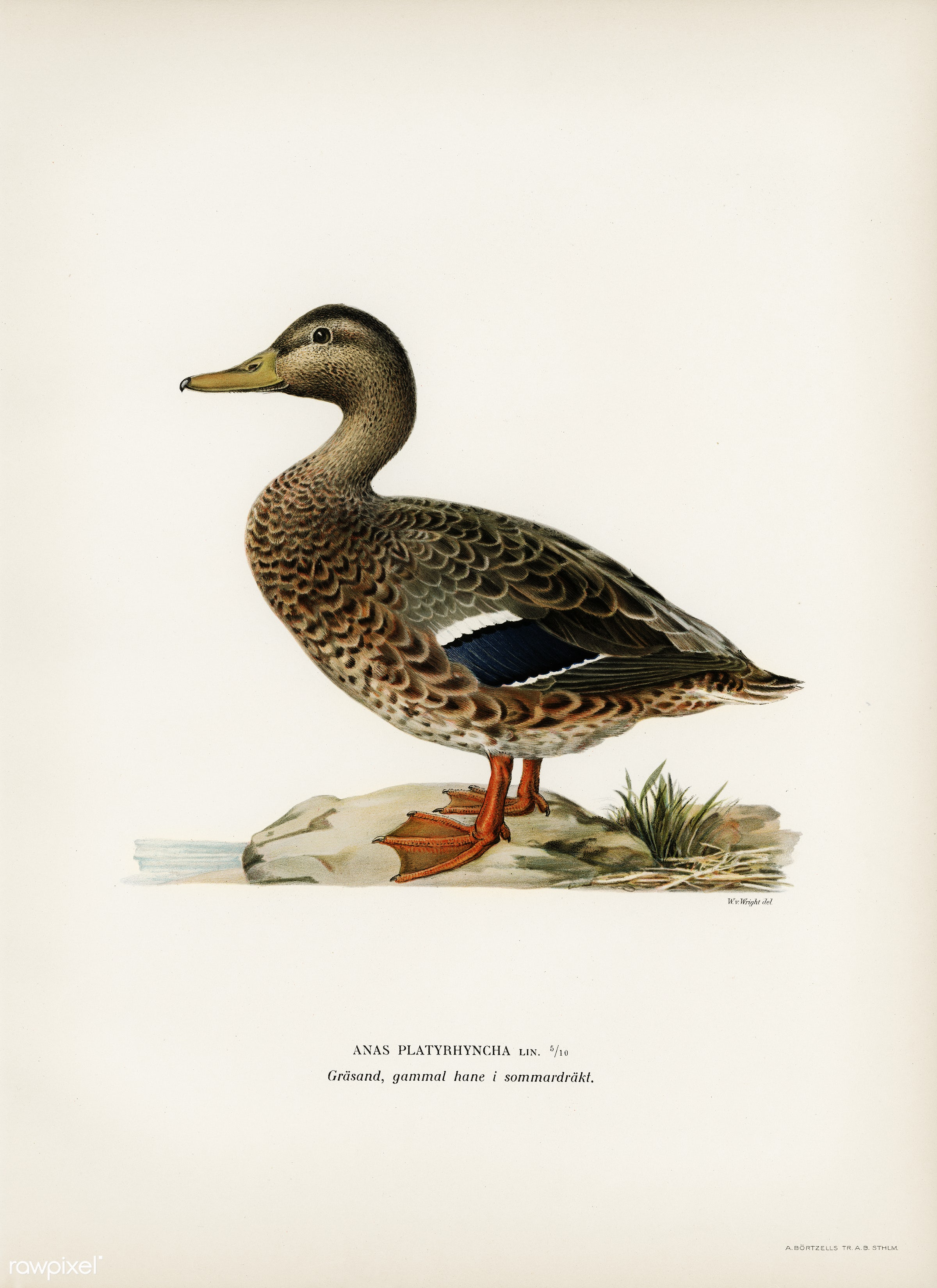 Mallard female (Anas platyrhynchos) illustrated by the von Wright brothers. Digitally enhanced from our own 1929 folio...