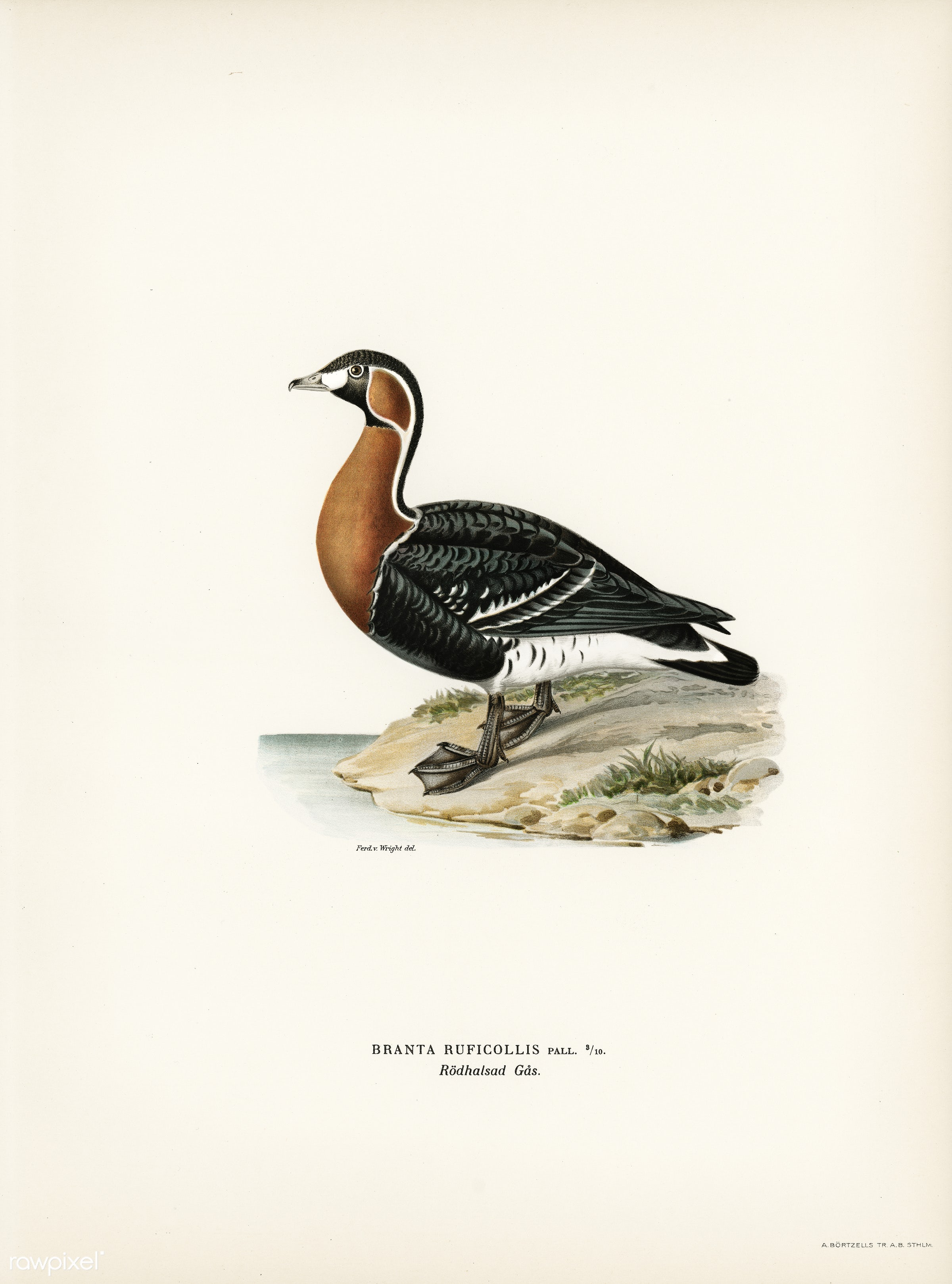 Red-breasted Goose (Branta ruficollis) illustrated by the von Wright brothers. Digitally enhanced from our own 1929 folio...