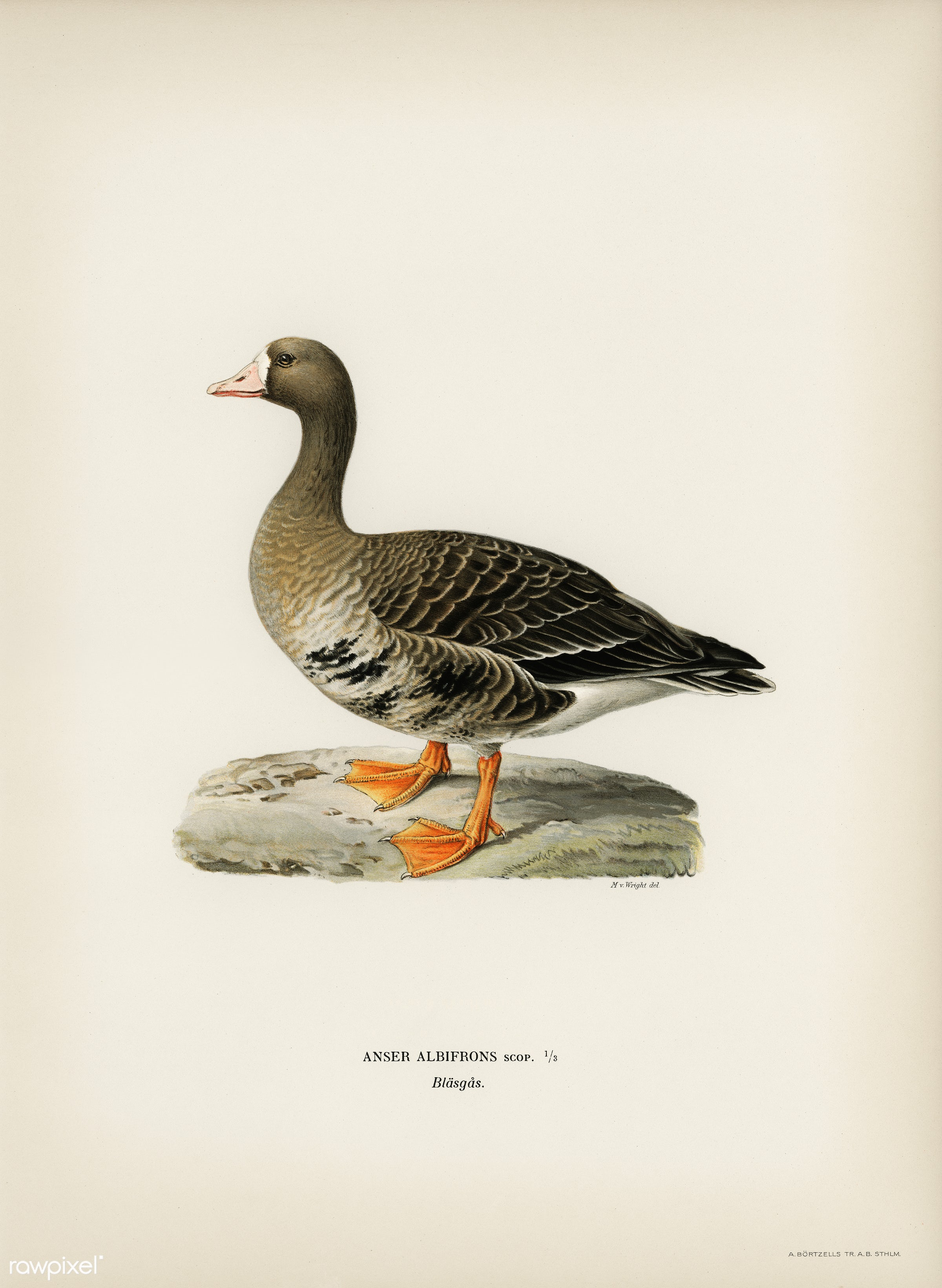 Greater White-fronted Goose (Anser albifrons) illustrated by the von Wright brothers. Digitally enhanced from our own 1929...