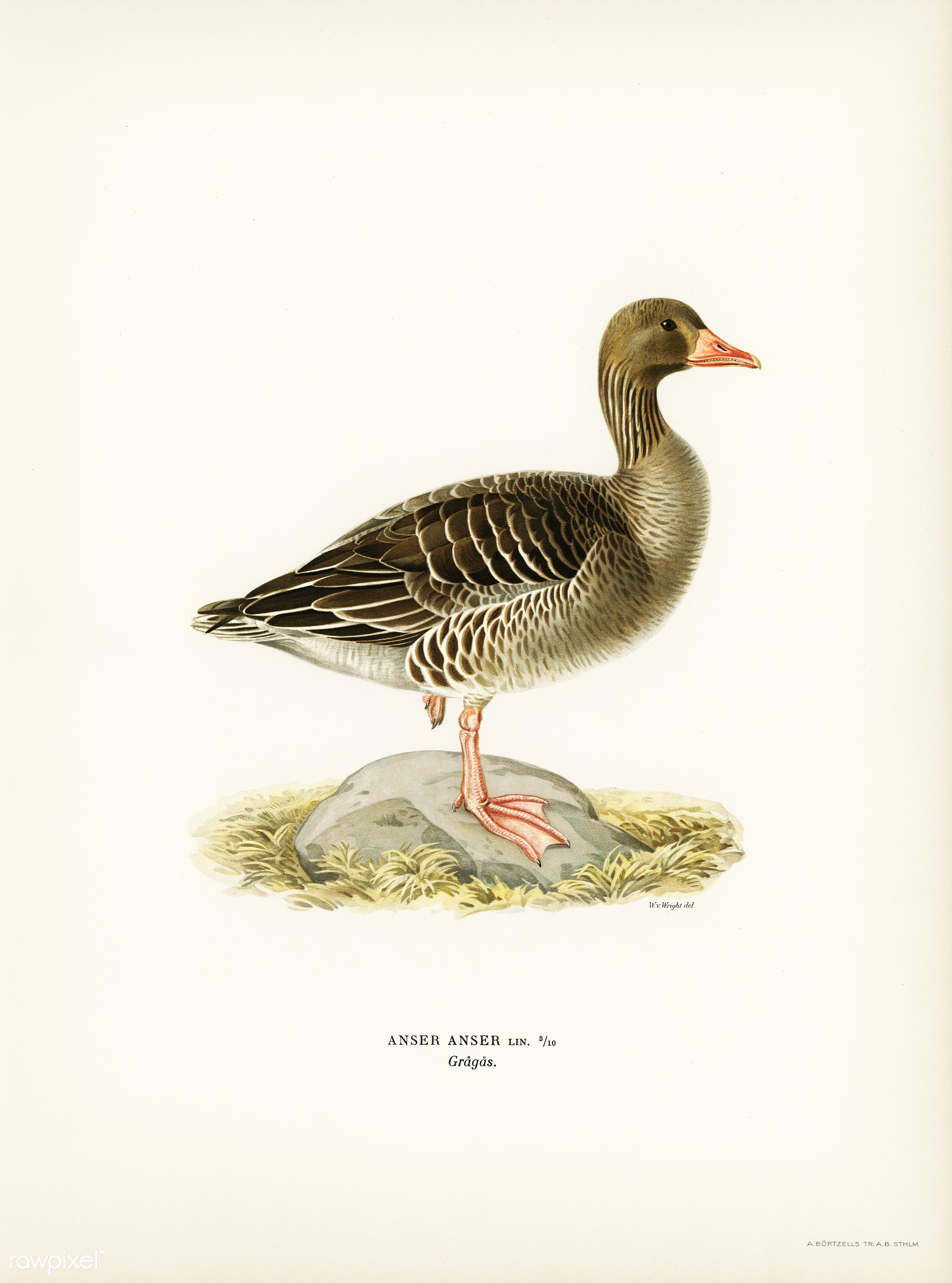 Greylag Goose (Anser anser) illustrated by the von Wright brothers. Digitally enhanced from our own 1929 folio version of...