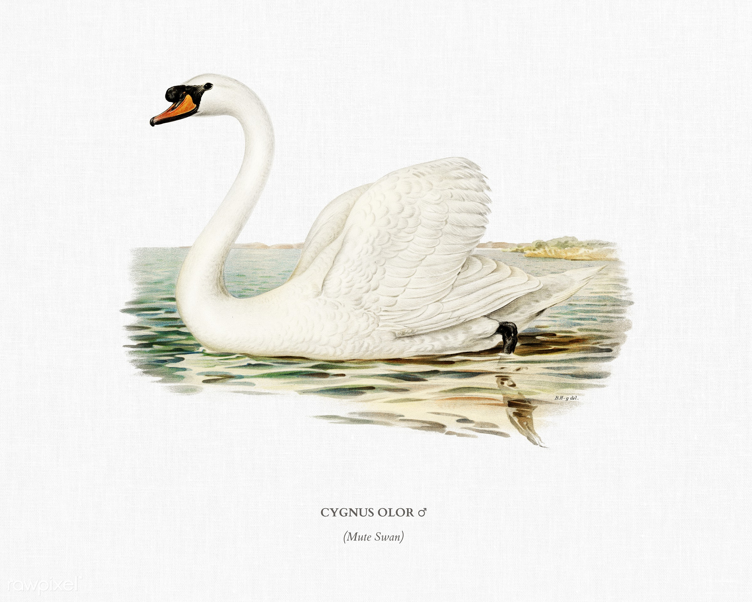 Mute Swan male (Cygnus olor) illustrated by the von Wright brothers. Digitally enhanced from our own 1929 folio version of...