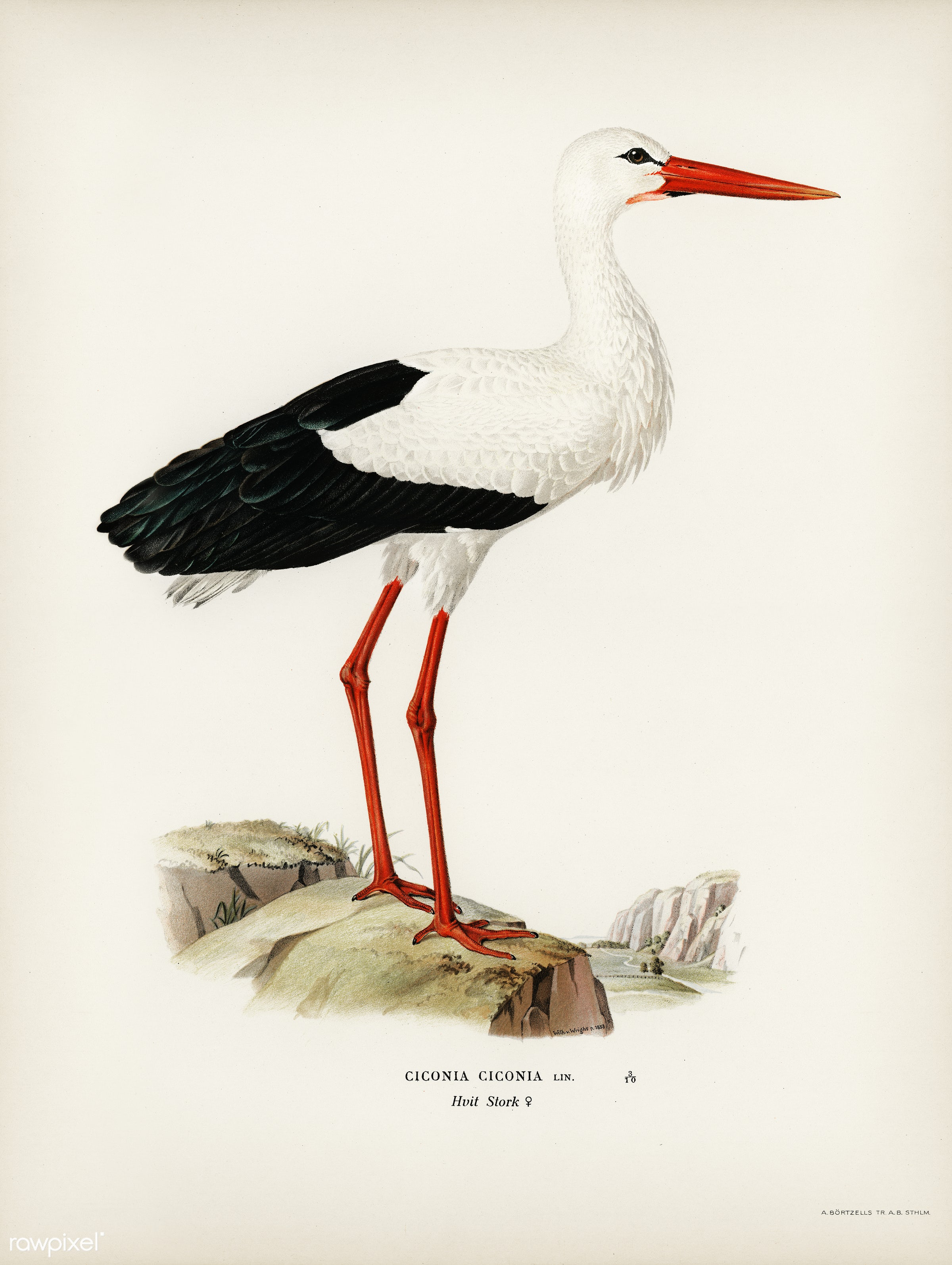 White stork ♀ (Ciconia ciconia) illustrated by the von Wright brothers. Digitally enhanced from our own 1929 folio version...