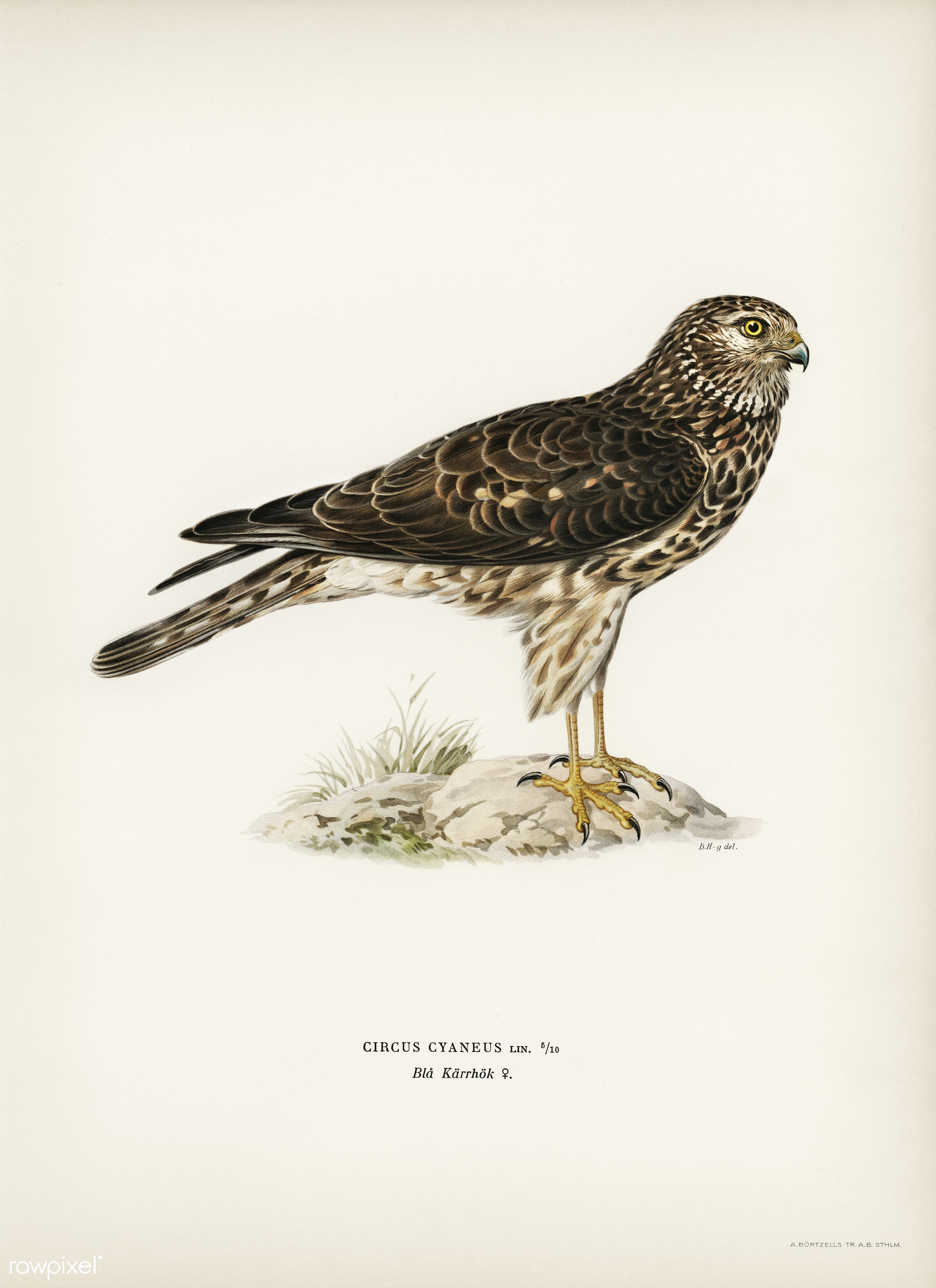 Hen Harrier female (Circus cyaneus) illustrated by the von Wright brothers. Digitally enhanced from our own 1929 folio...
