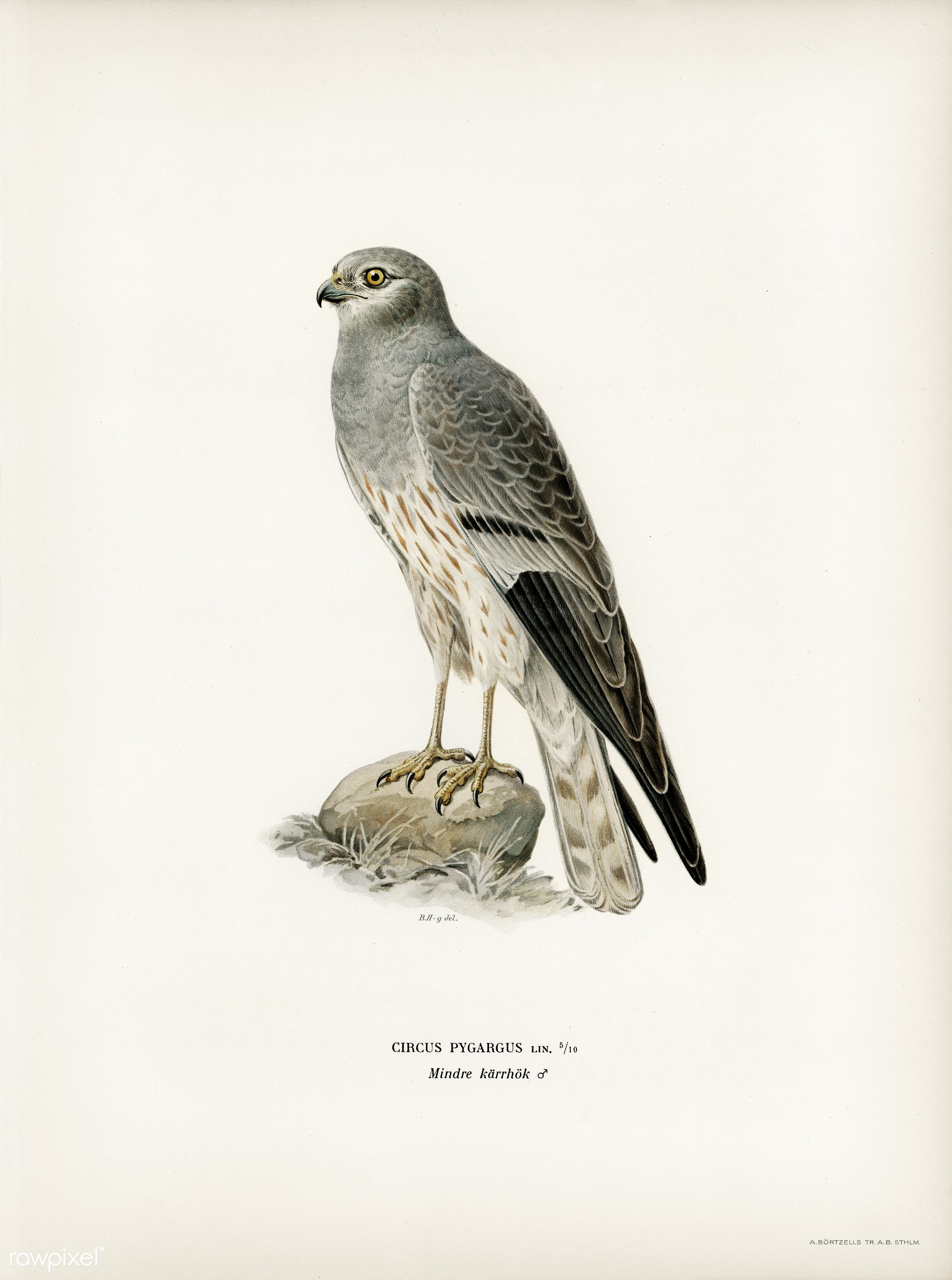 Montagu's Harrier male (Circus pygargus) illustrated by the von Wright brothers. Digitally enhanced from our own 1929...