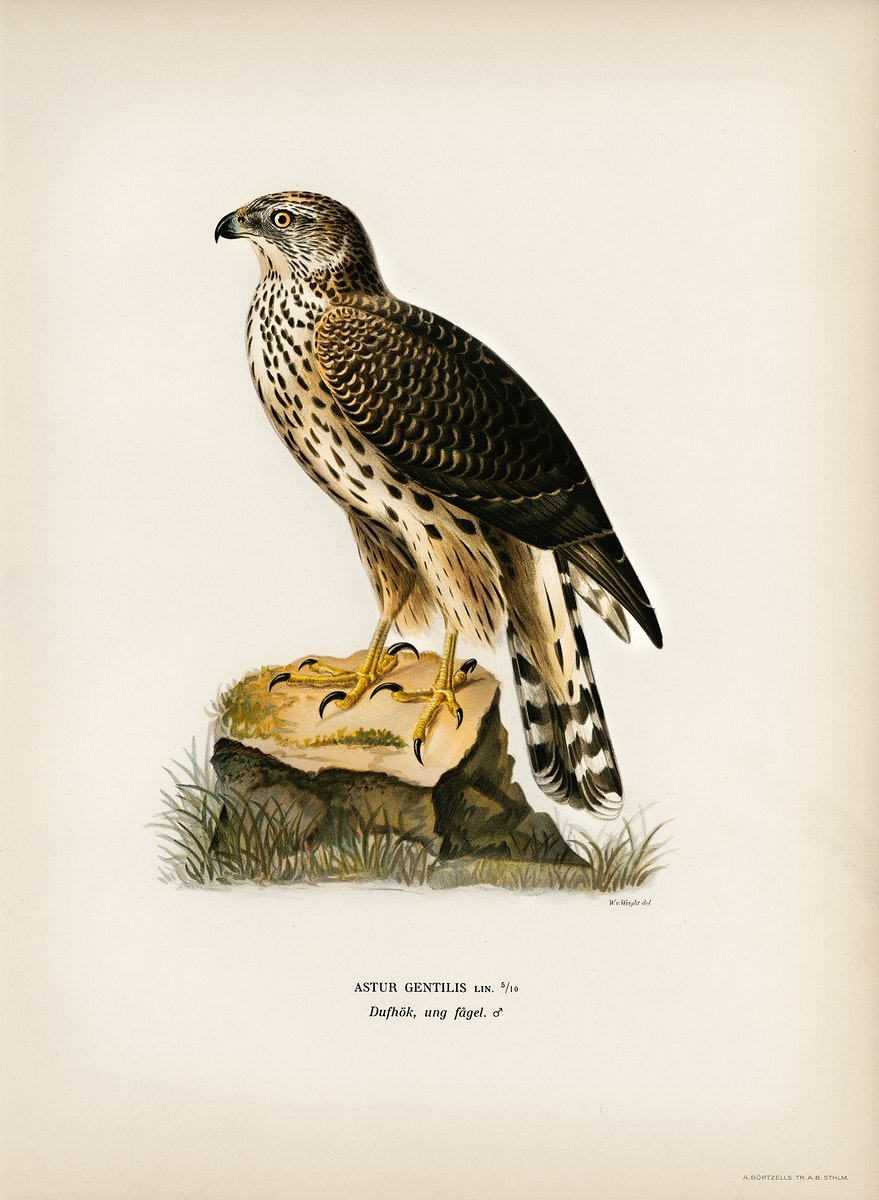 Goshawk (Accipiter gentilis) illustrated by the von Wright brothers. Digitally enhanced from our own 1929 folio version of…