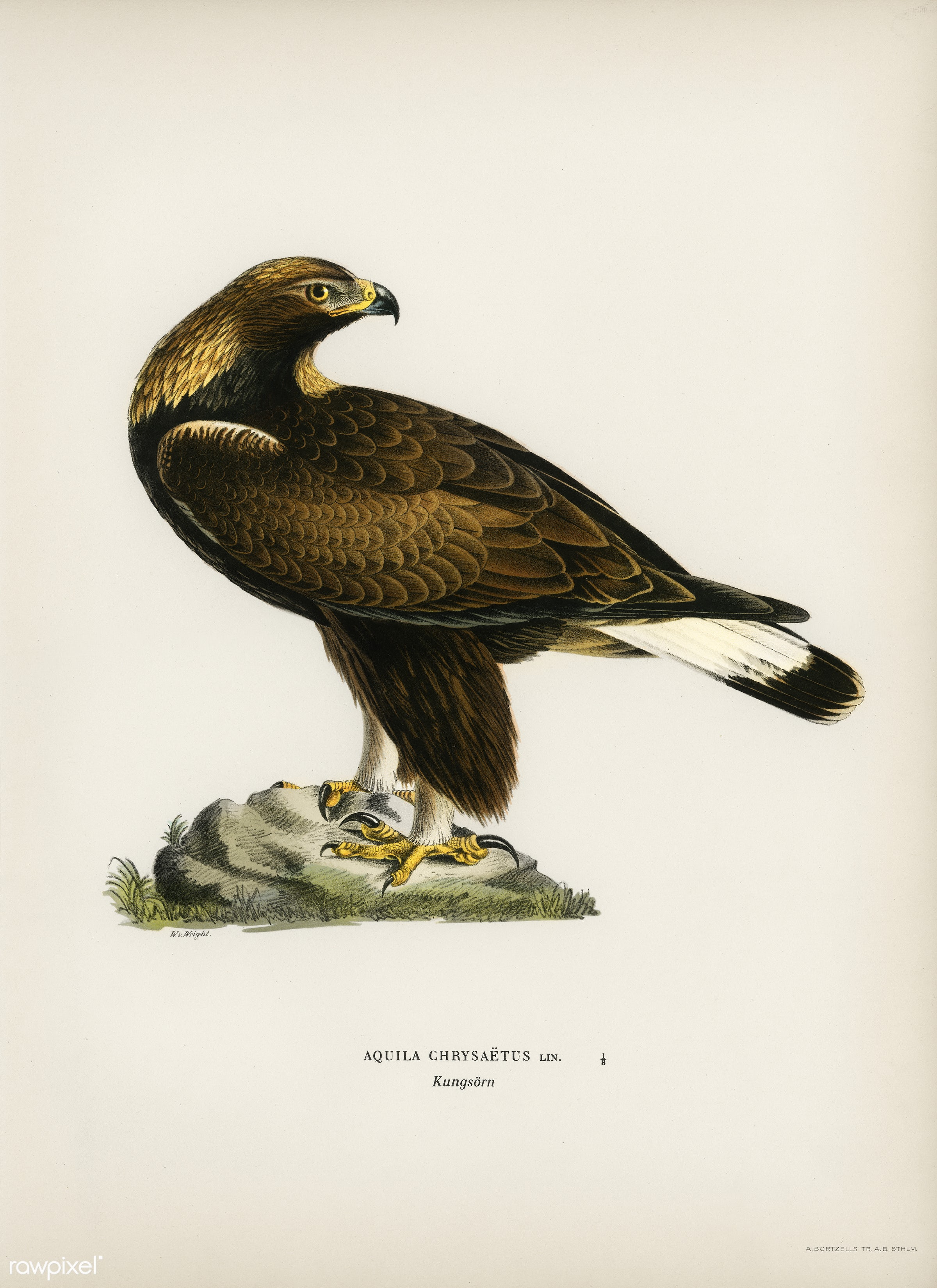 Golden Eagle (Aquila chrysaetos) illustrated by the von Wright brothers. Digitally enhanced from our own 1929 folio version...