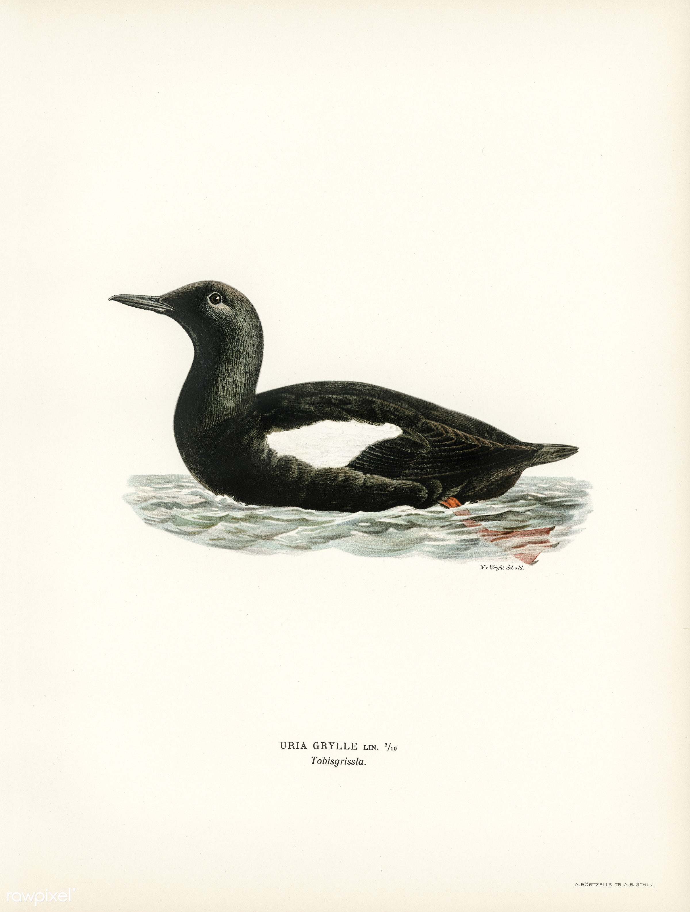 Black guillemot (Uria Grylle) illustrated by the von Wright brothers. Digitally enhanced from our own 1929 folio version of...
