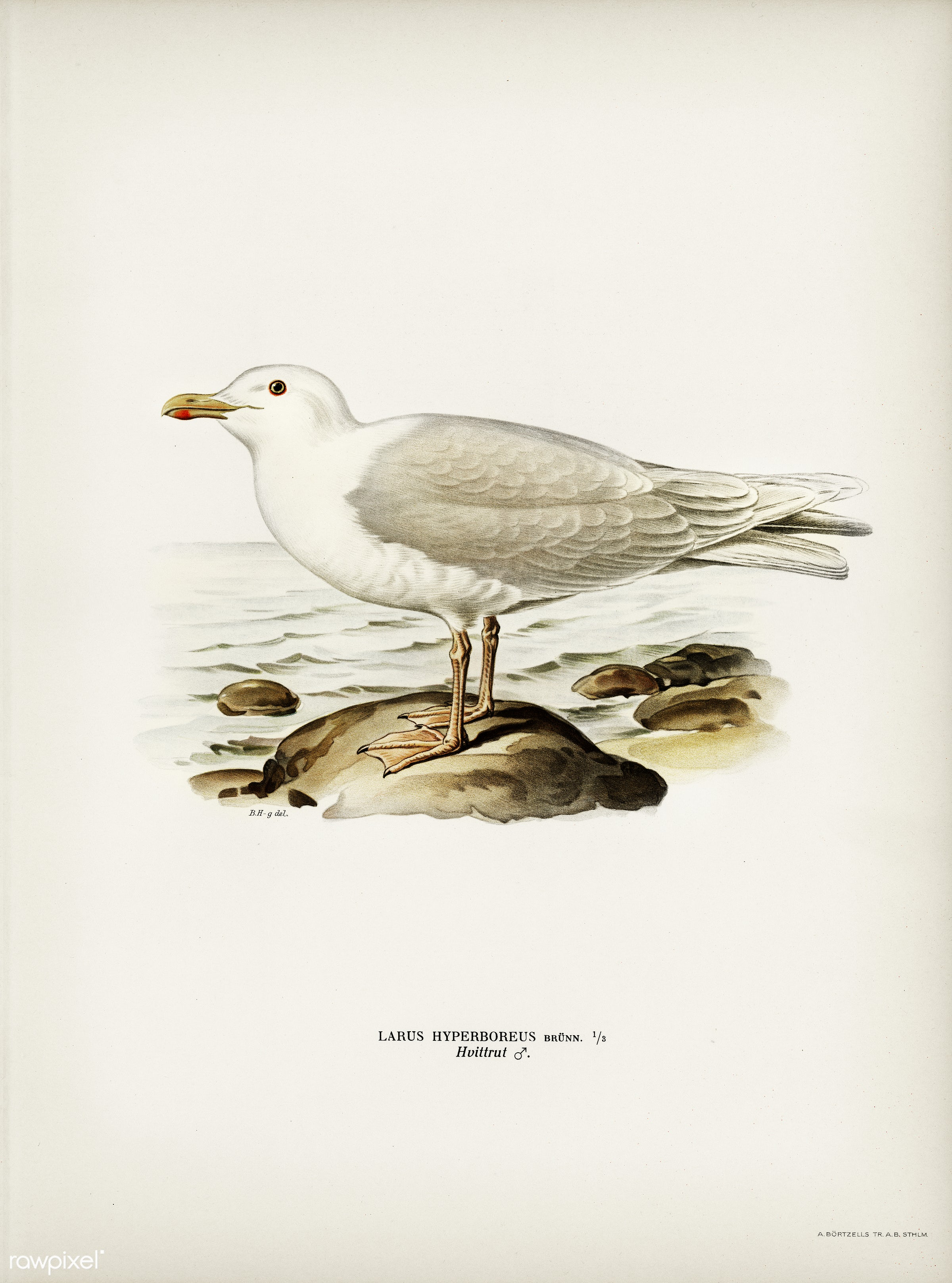 Glaucous gull ♂ (Larus hyperboreus) illustrated by the von Wright brothers. Digitally enhanced from our own 1929 folio...