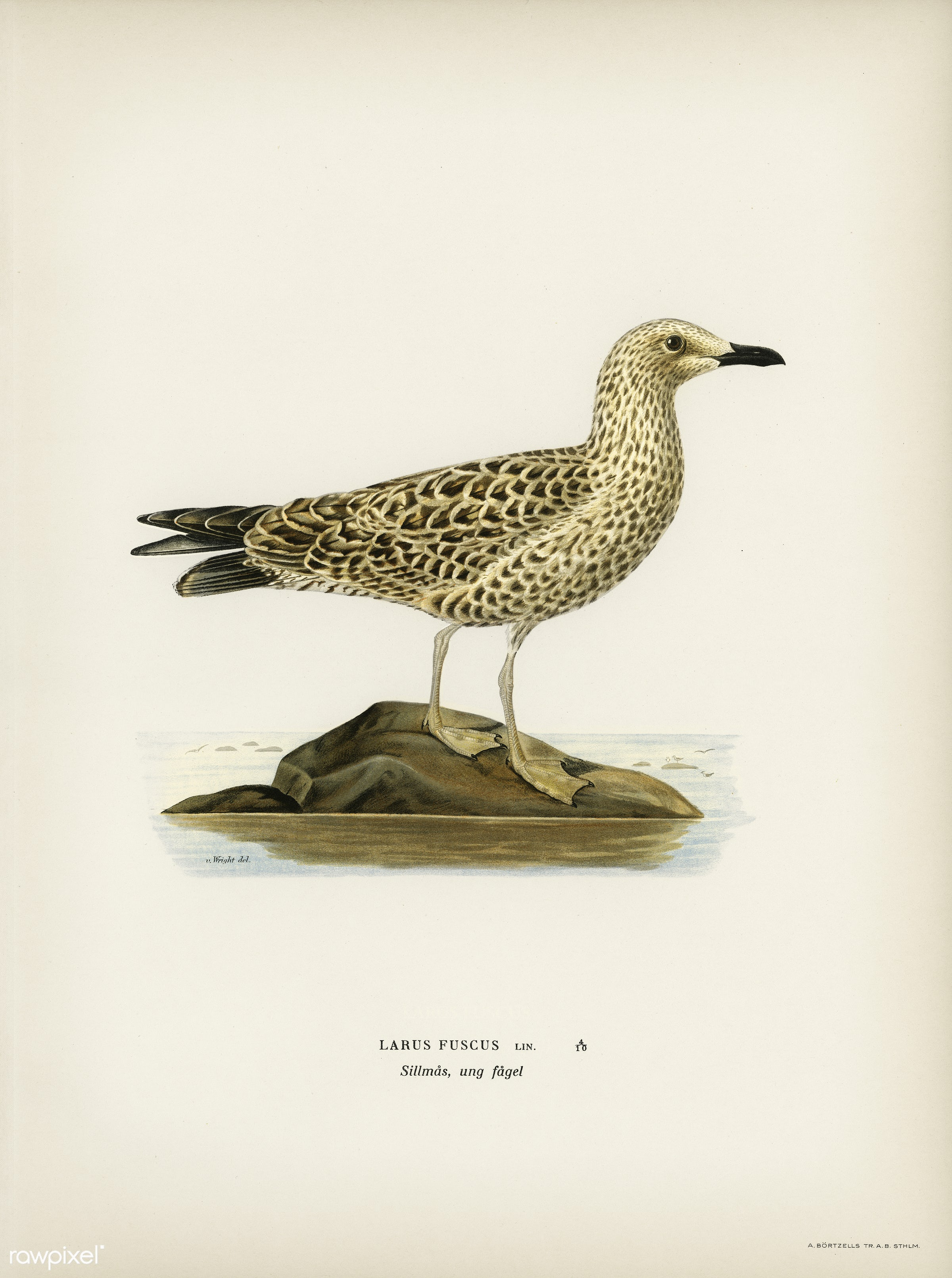 Leser black-backed gull (Larus fuscus) illustrated by the von Wright brothers. Digitally enhanced from our own 1929 folio...