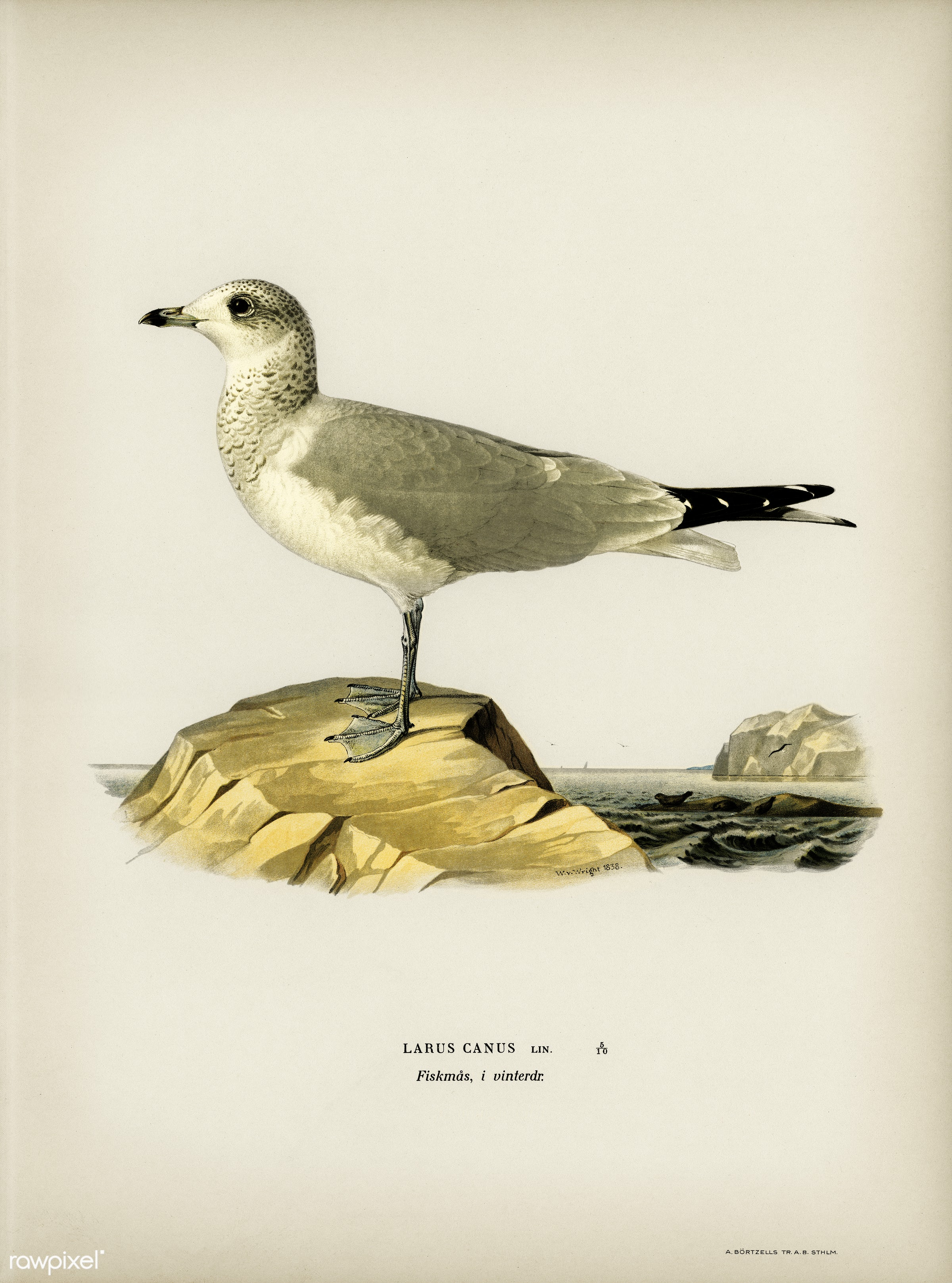 Common gull (Larus canus) illustrated by the von Wright brothers. Digitally enhanced from our own 1929 folio version of...