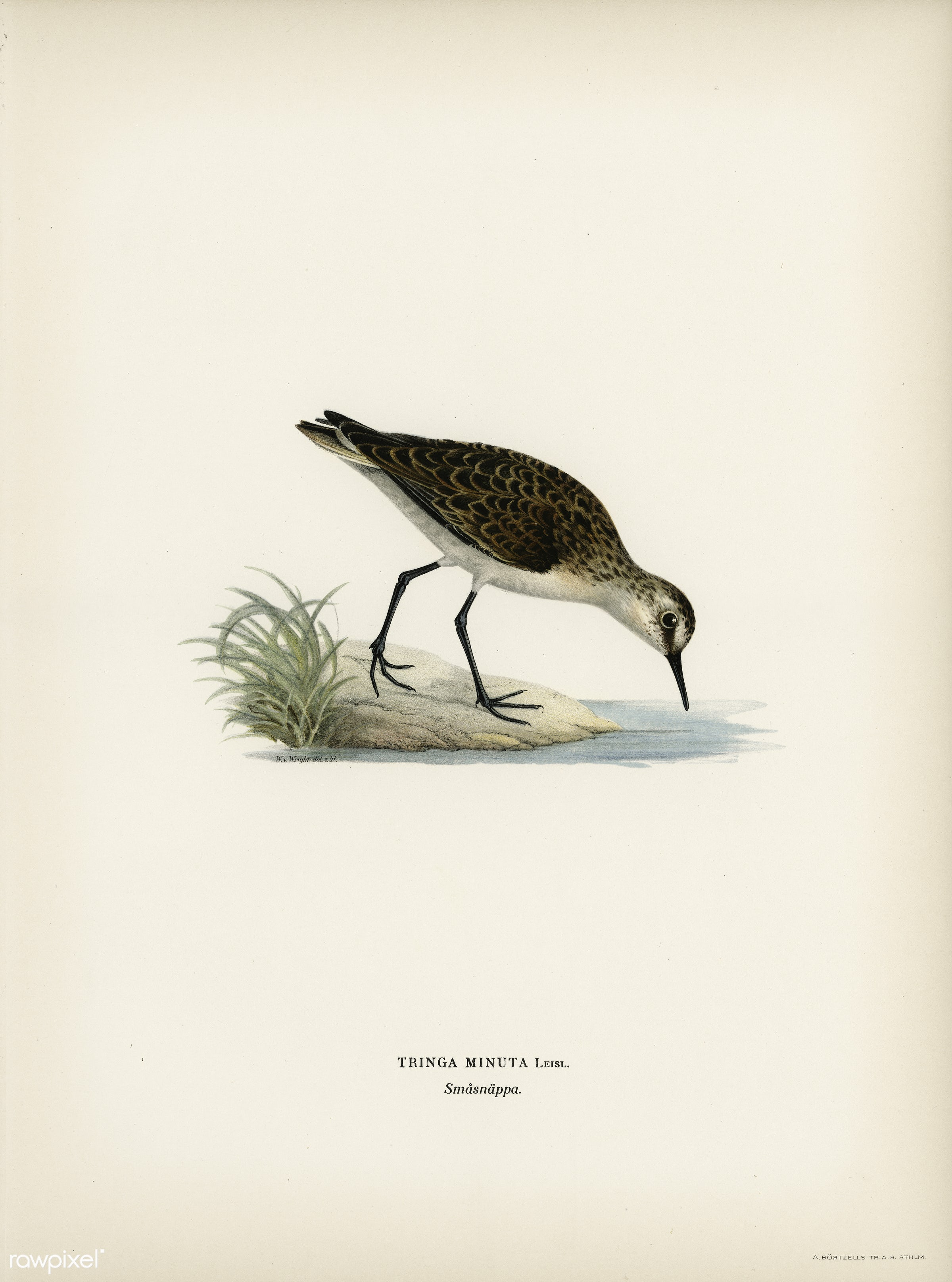Little stint (tringa minuta) illustrated by the von Wright brothers. Digitally enhanced from our own 1929 folio version of...
