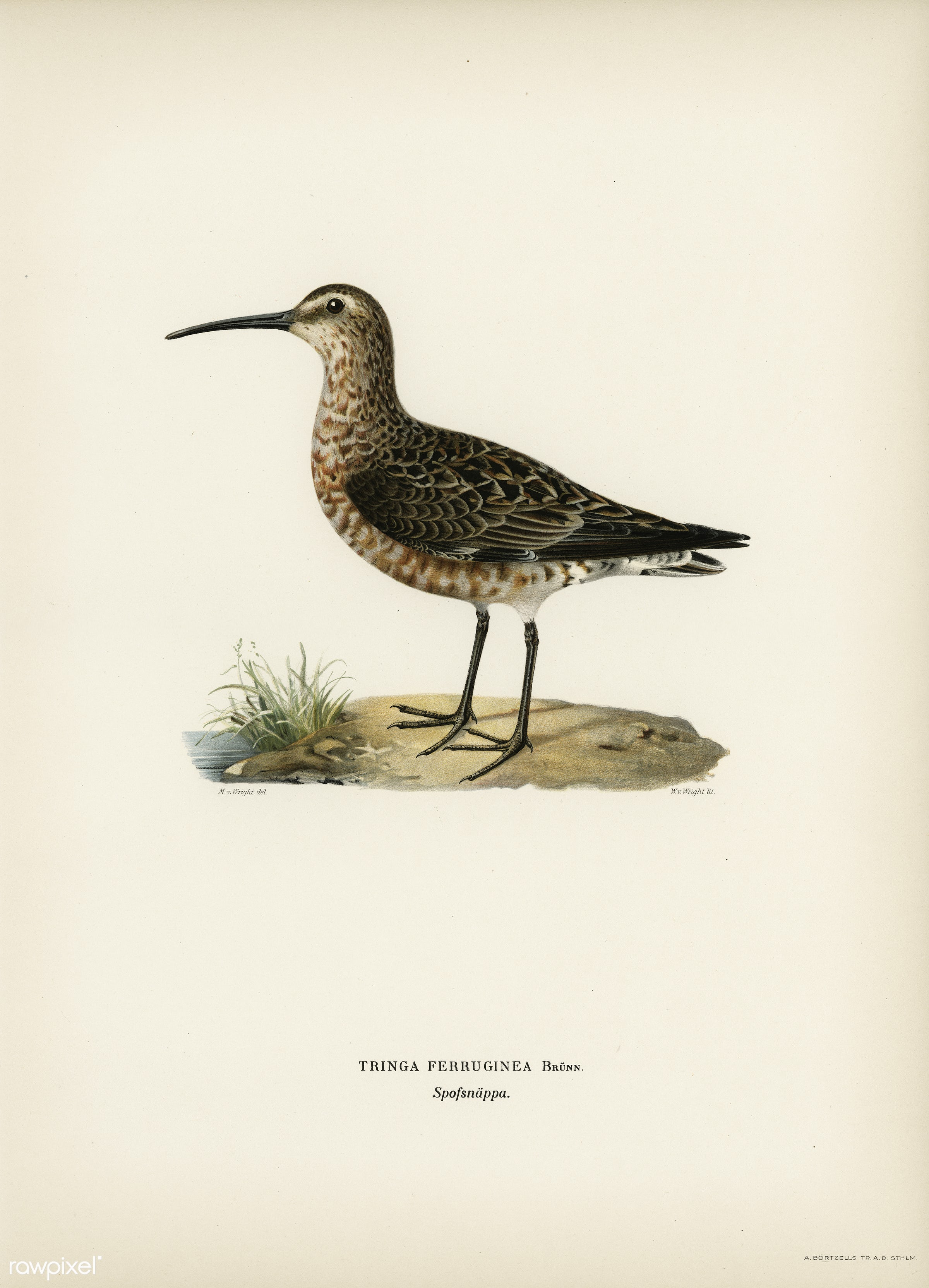 Curlew Sandpiper (Tringa ferruginea) illustrated by the von Wright brothers. Digitally enhanced from our own 1929 folio...