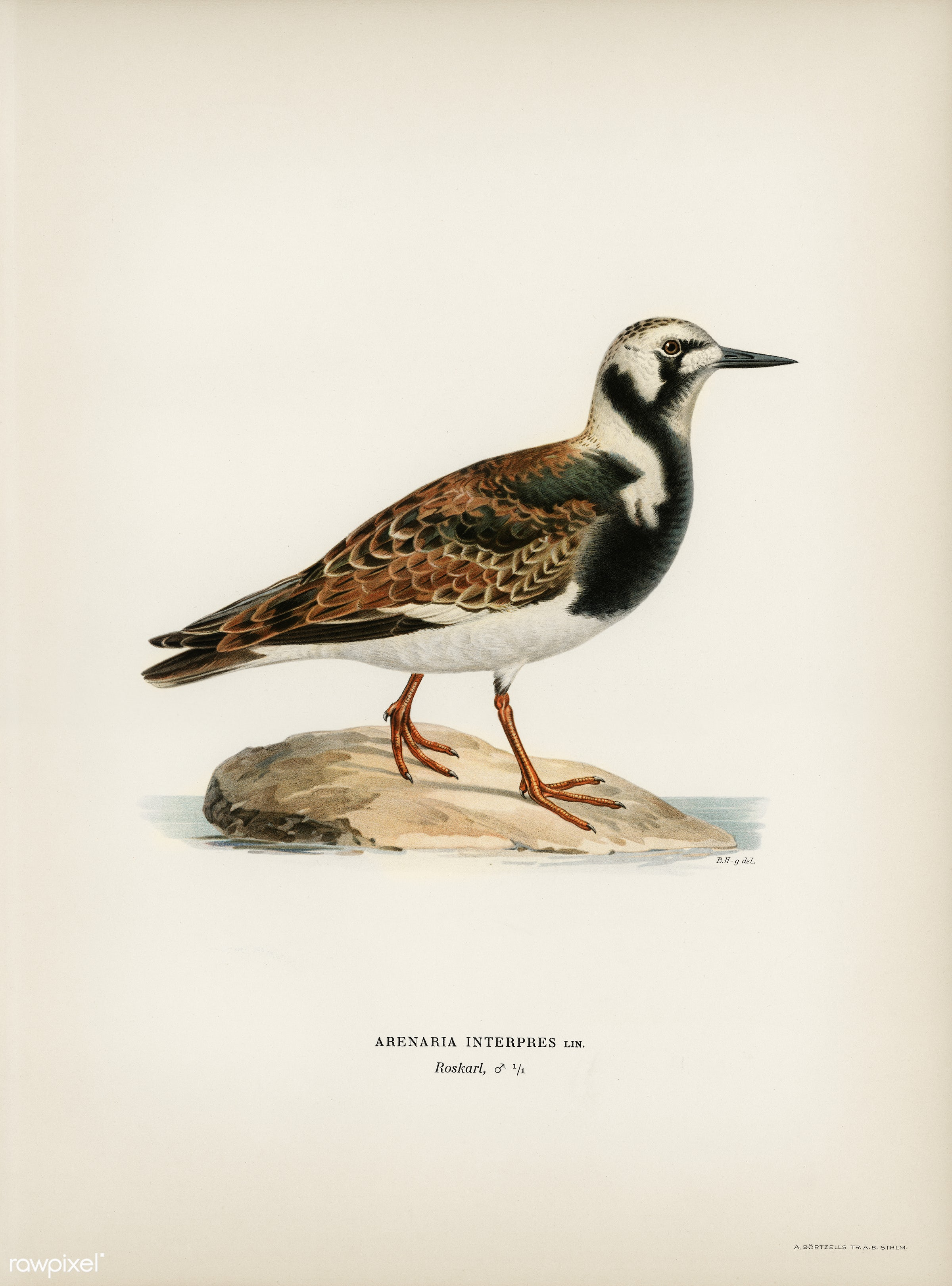 Ruddy turnstone (arenaria interpres ) illustrated by the von Wright brothers. Digitally enhanced from our own 1929 folio...