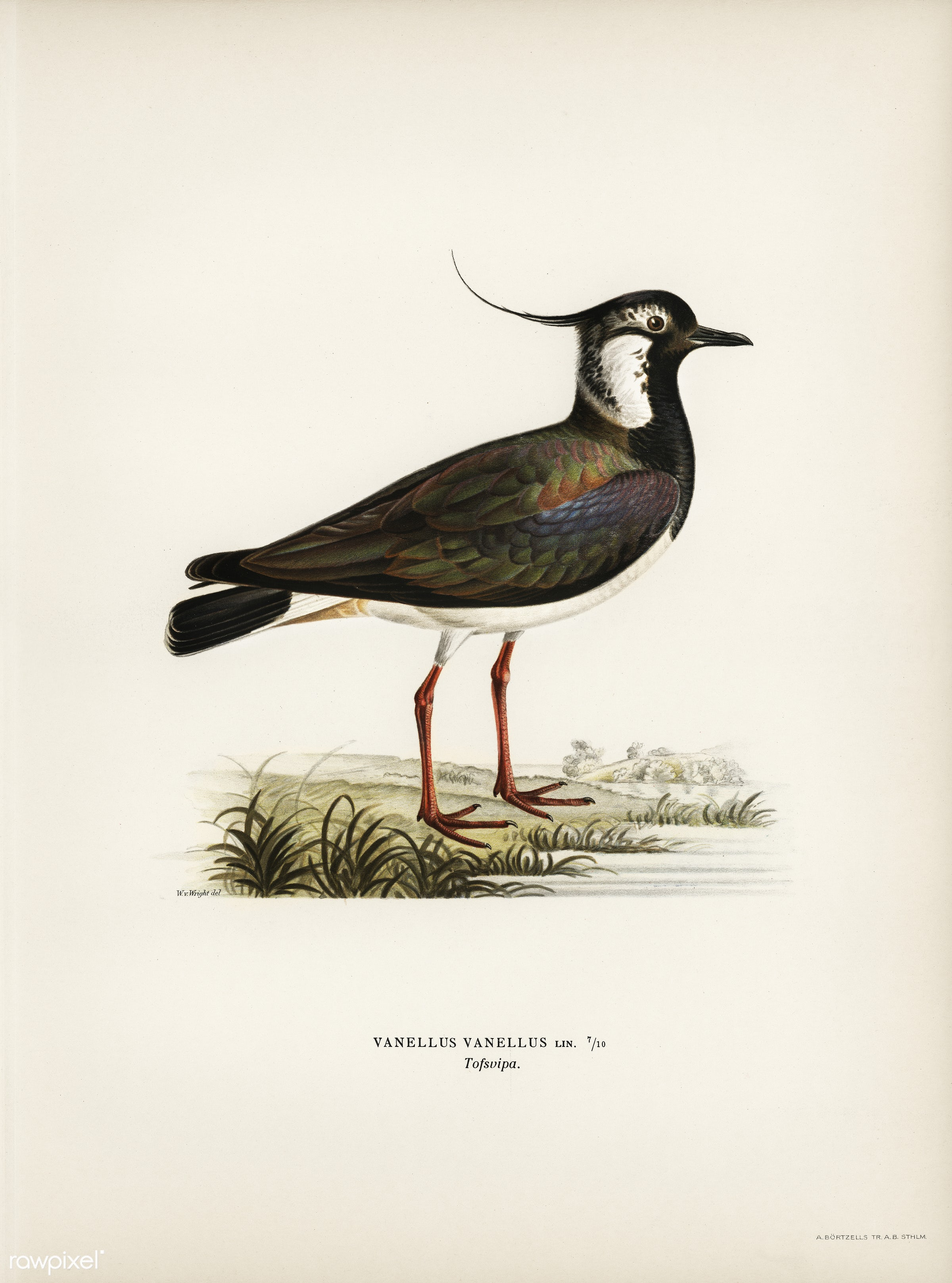 Northern labwing (Vanellus vanellus) illustrated by the von Wright brothers. Digitally enhanced from our own 1929 folio...