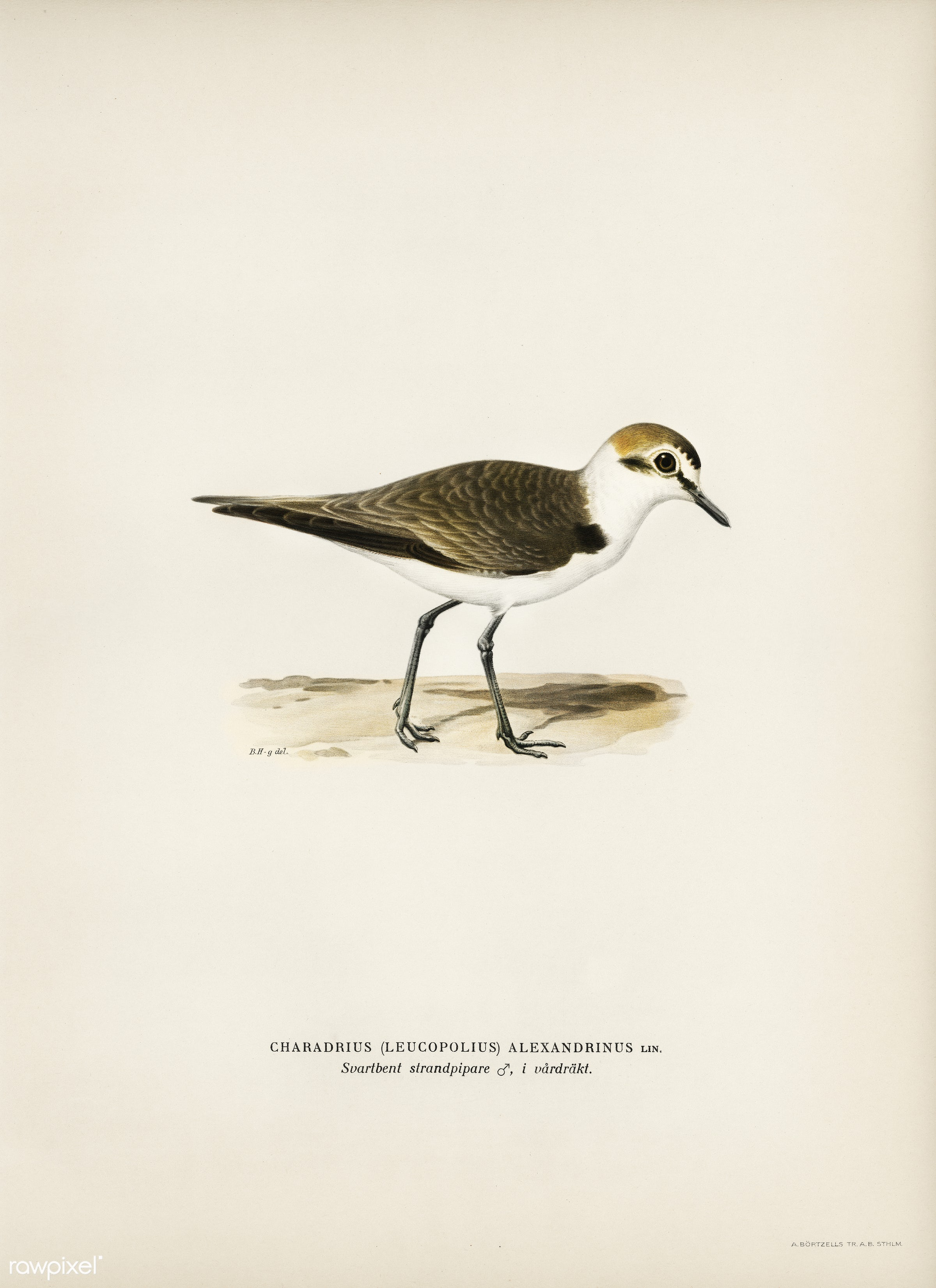 Kentish Plover (charadrius alexandrinus ♂) illustrated by the von Wright brothers. Digitally enhanced from our own 1929...