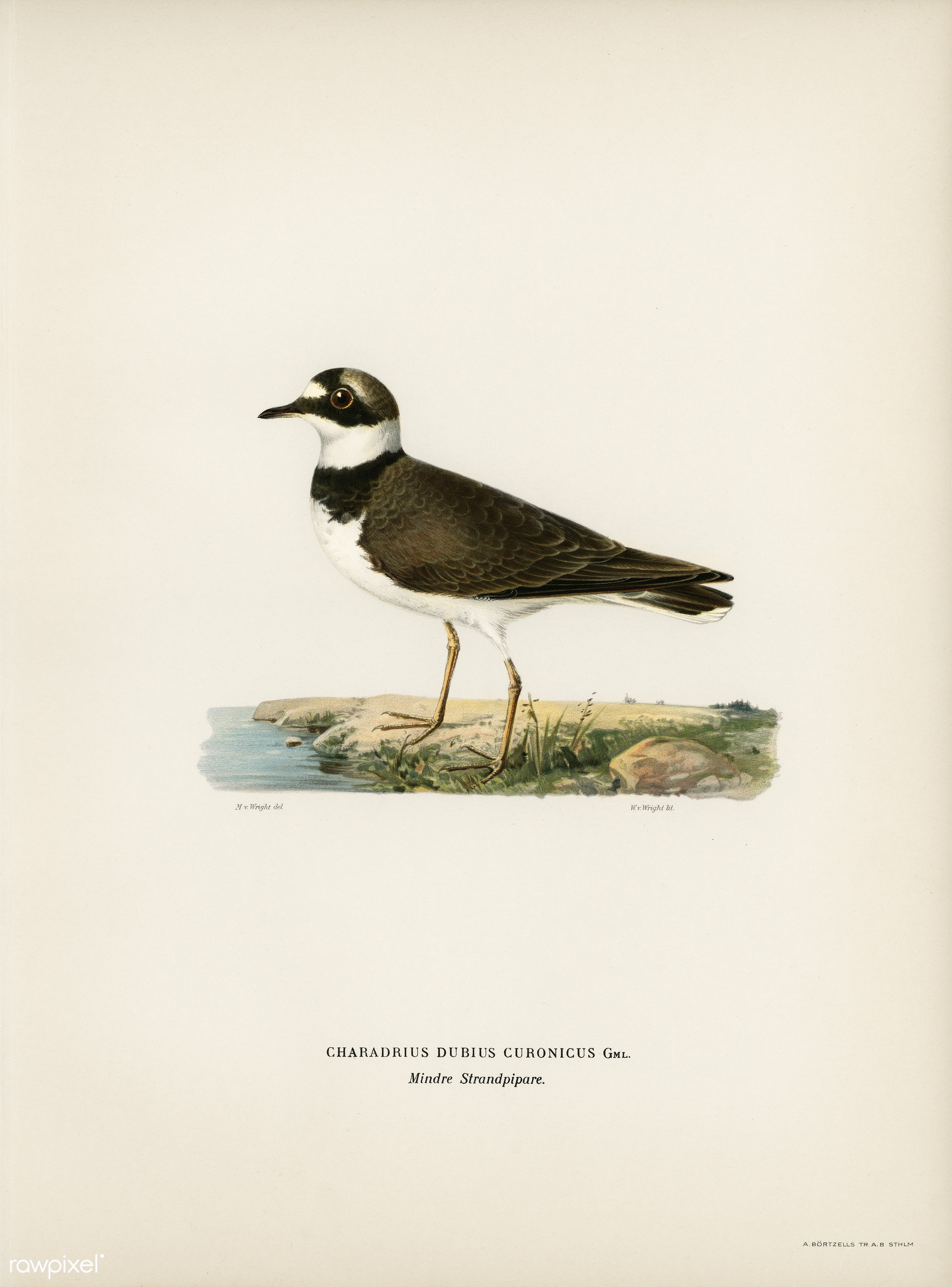 Little Ringed Plover (Charadrius dubius) illustrated by the von Wright brothers. Digitally enhanced from our own 1929 folio...