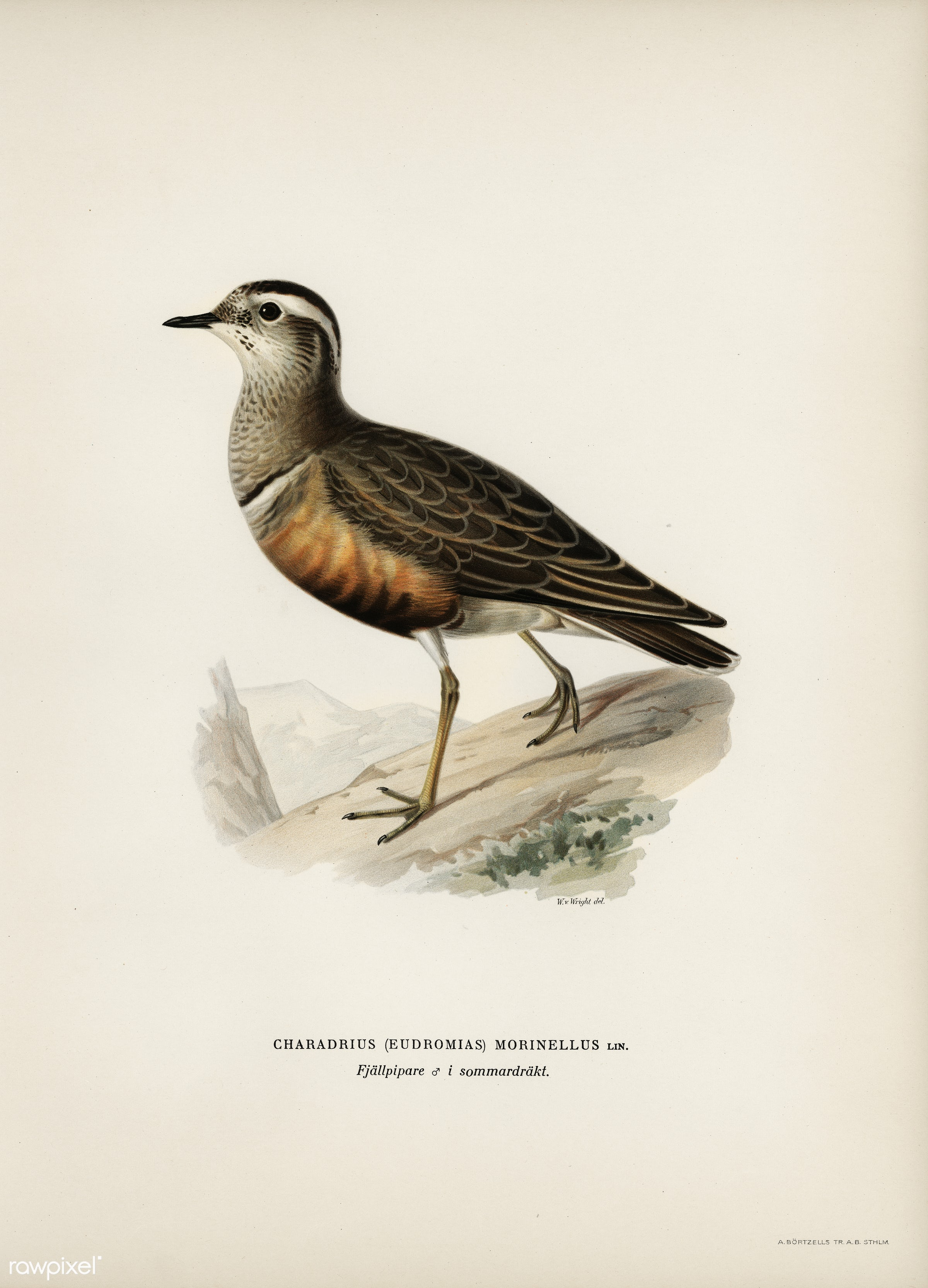 Eurasian dotterel ♂ (Charadrius (eudromias) morinellus) illustrated by the von Wright brothers. Digitally enhanced from our...