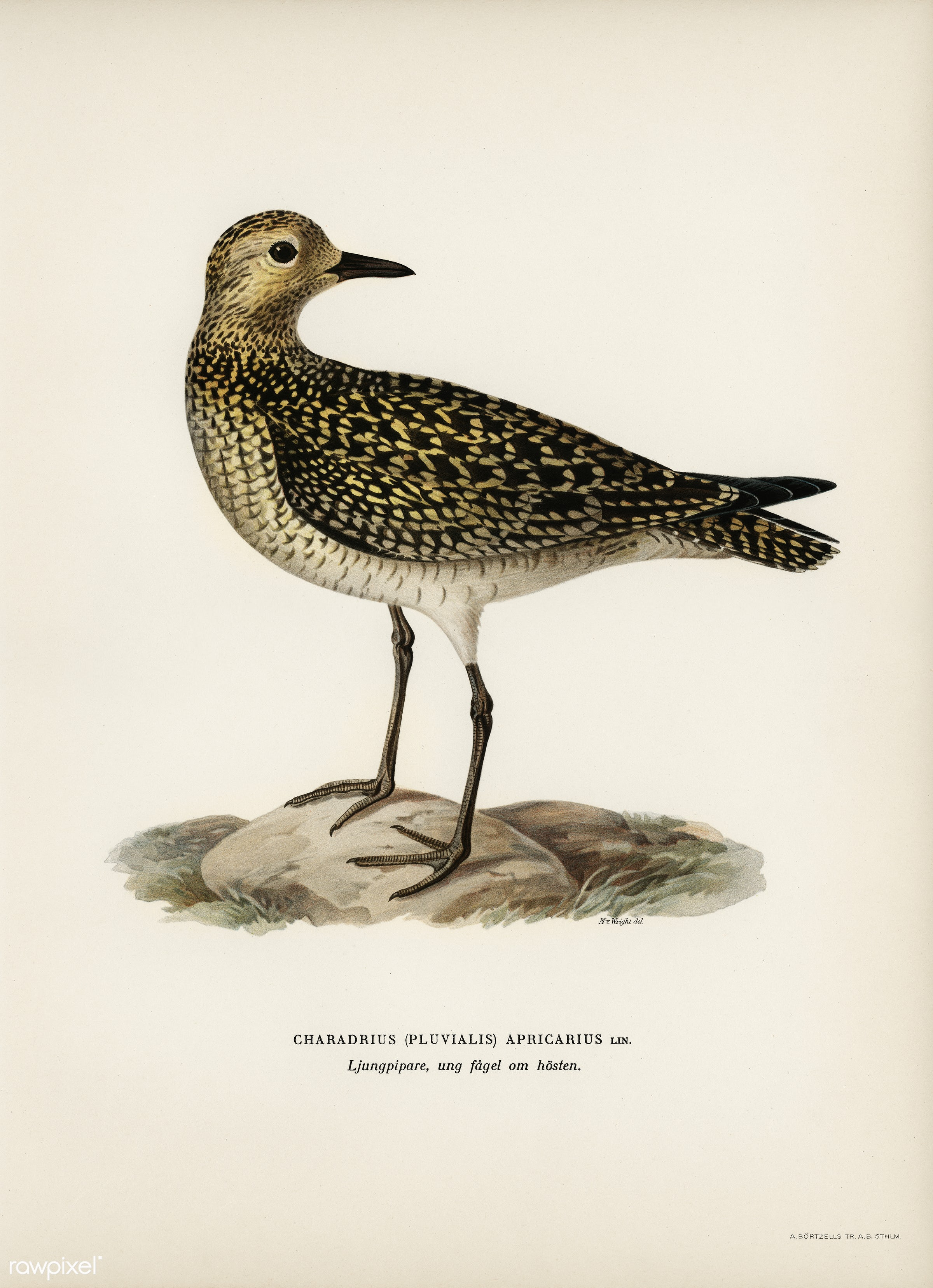 European Golden-Plover (charadrius pluvialis apricarius) illustrated by the von Wright brothers. Digitally enhanced from our...