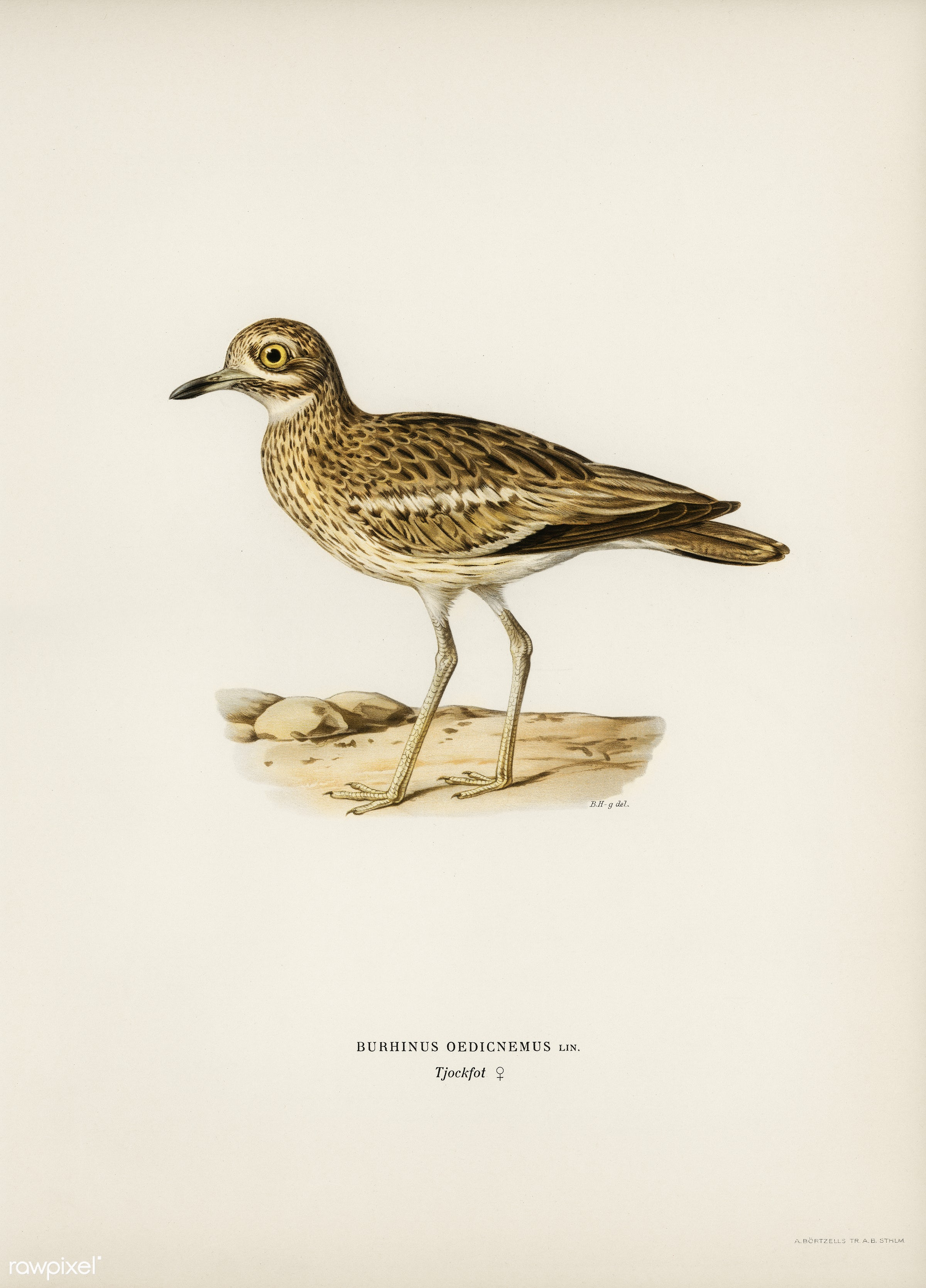 Eurasian stone curlew (burhinus oedicnemus) illustrated by the von Wright brothers. Digitally enhanced from our own 1929...