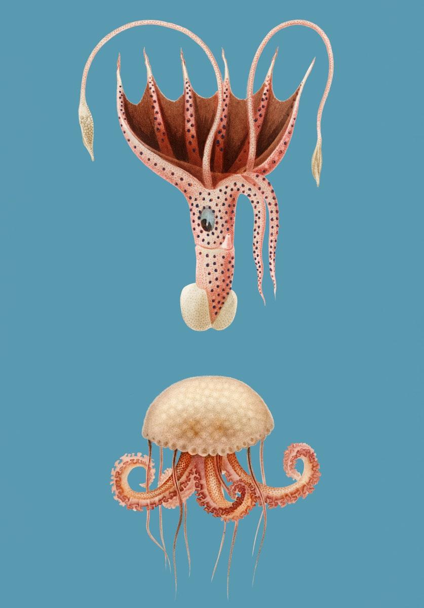 Vintage Illustration of Mauve stinger jellyfish and Squid.