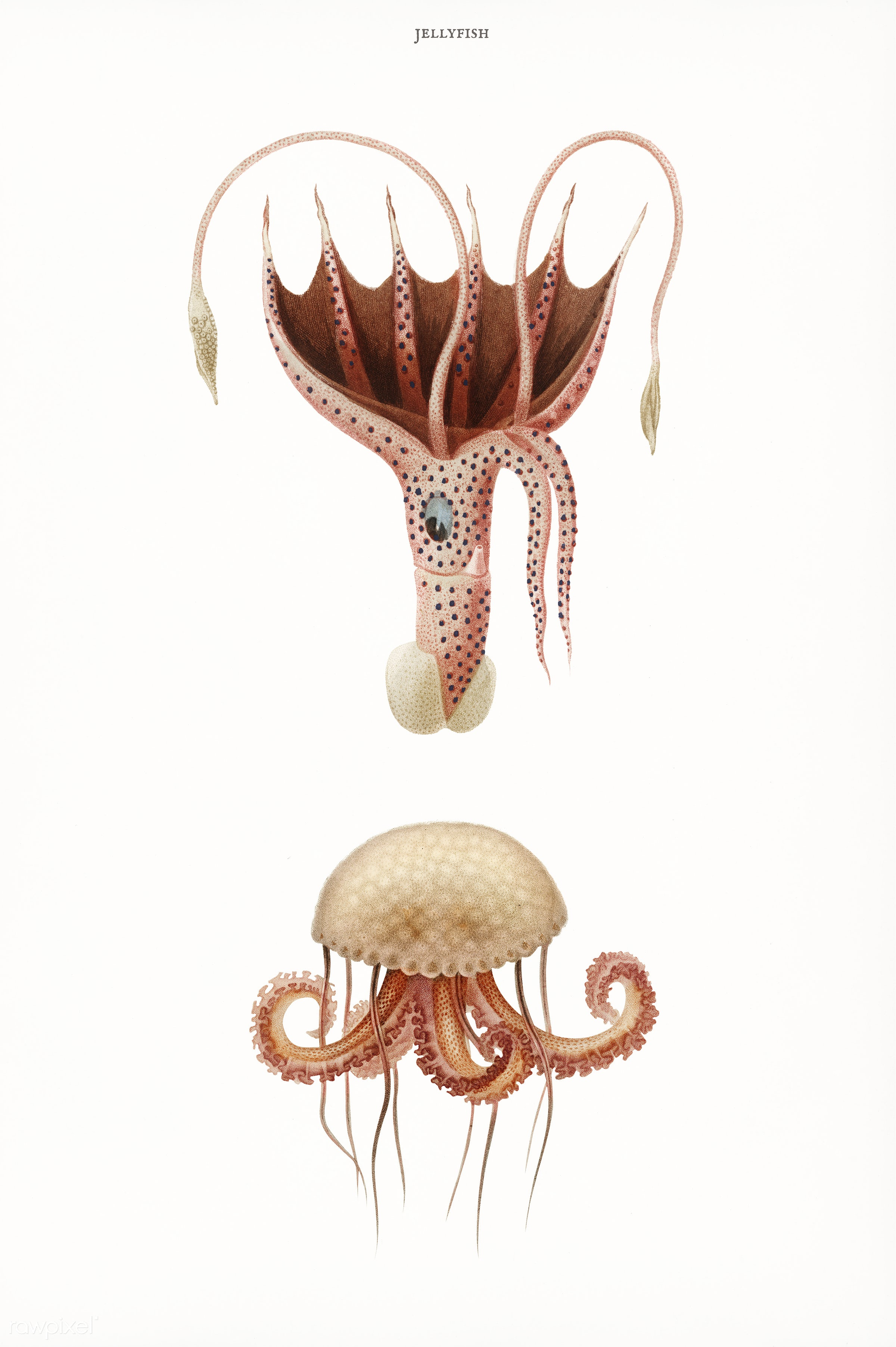 Mauve stinger jellyfish and Squid (Histioteuthis bonnellii) illustrated by Charles Dessalines D' Orbigny (1806-1876)....