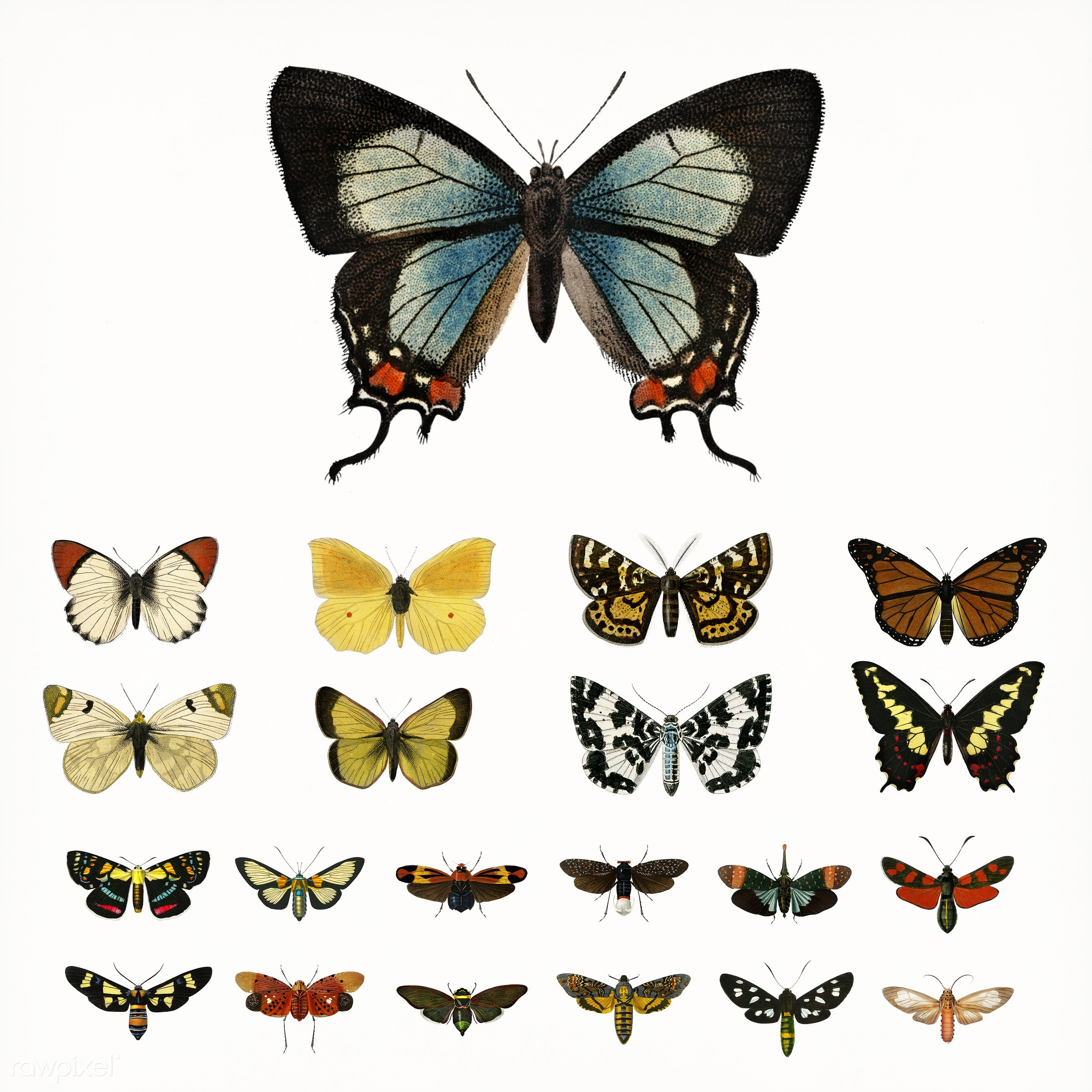 Collection of butterflies and moths illustrated by Charles Dessalines D' Orbigny (1806-1876). - ancient, animal,...