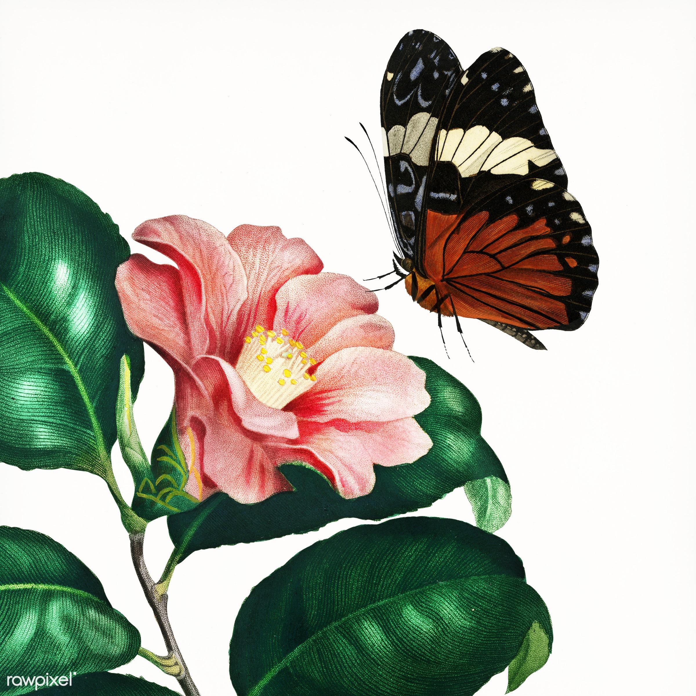 Camellia japonica (Camélia du Japon) illustrated by Charles Dessalines D' Orbigny (1806-1876). Digitally enhanced...