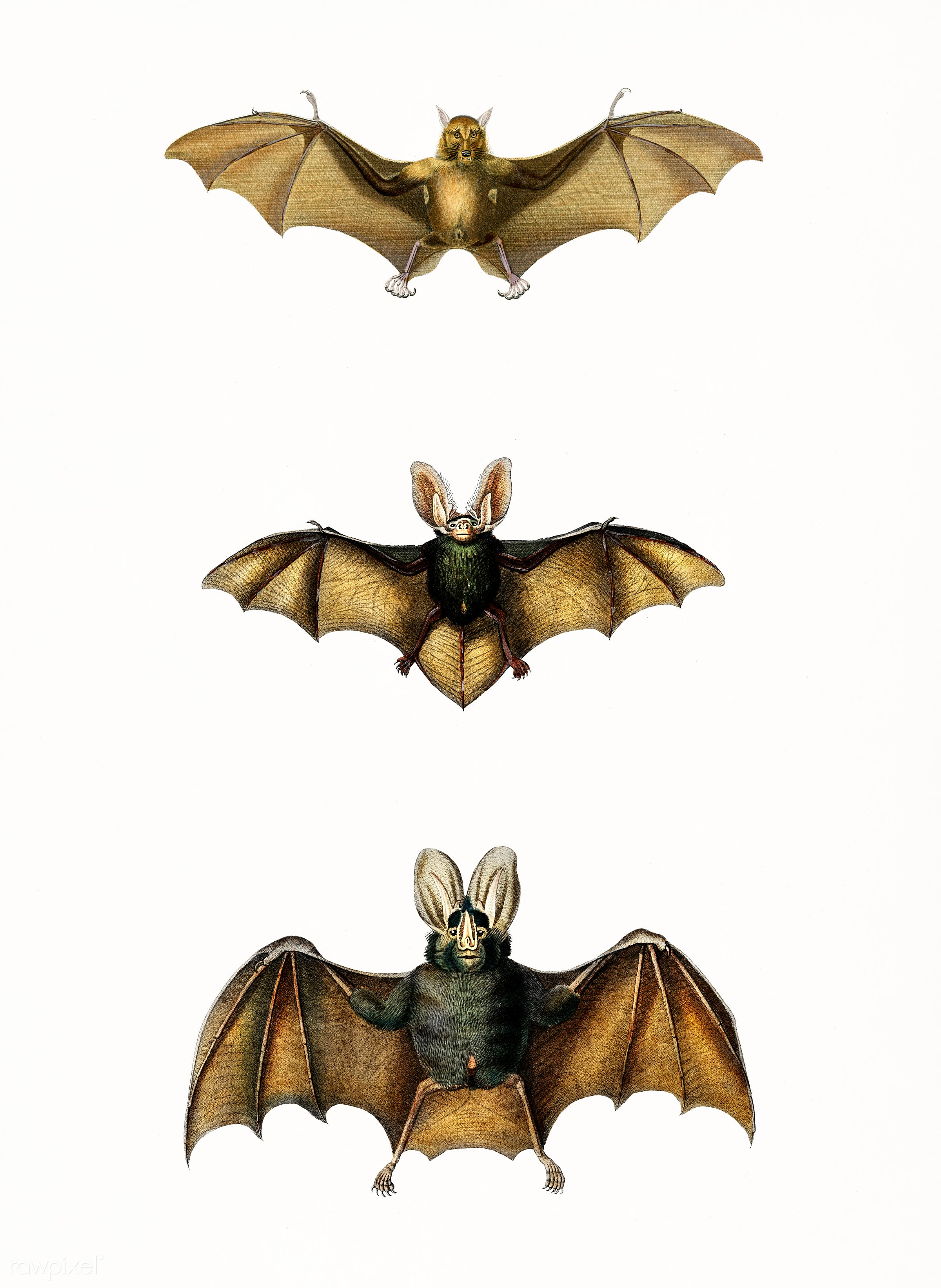Collection of bats illustrated by Charles Dessalines D' Orbigny (1806-1876). Digitally enhanced from our own 1892...