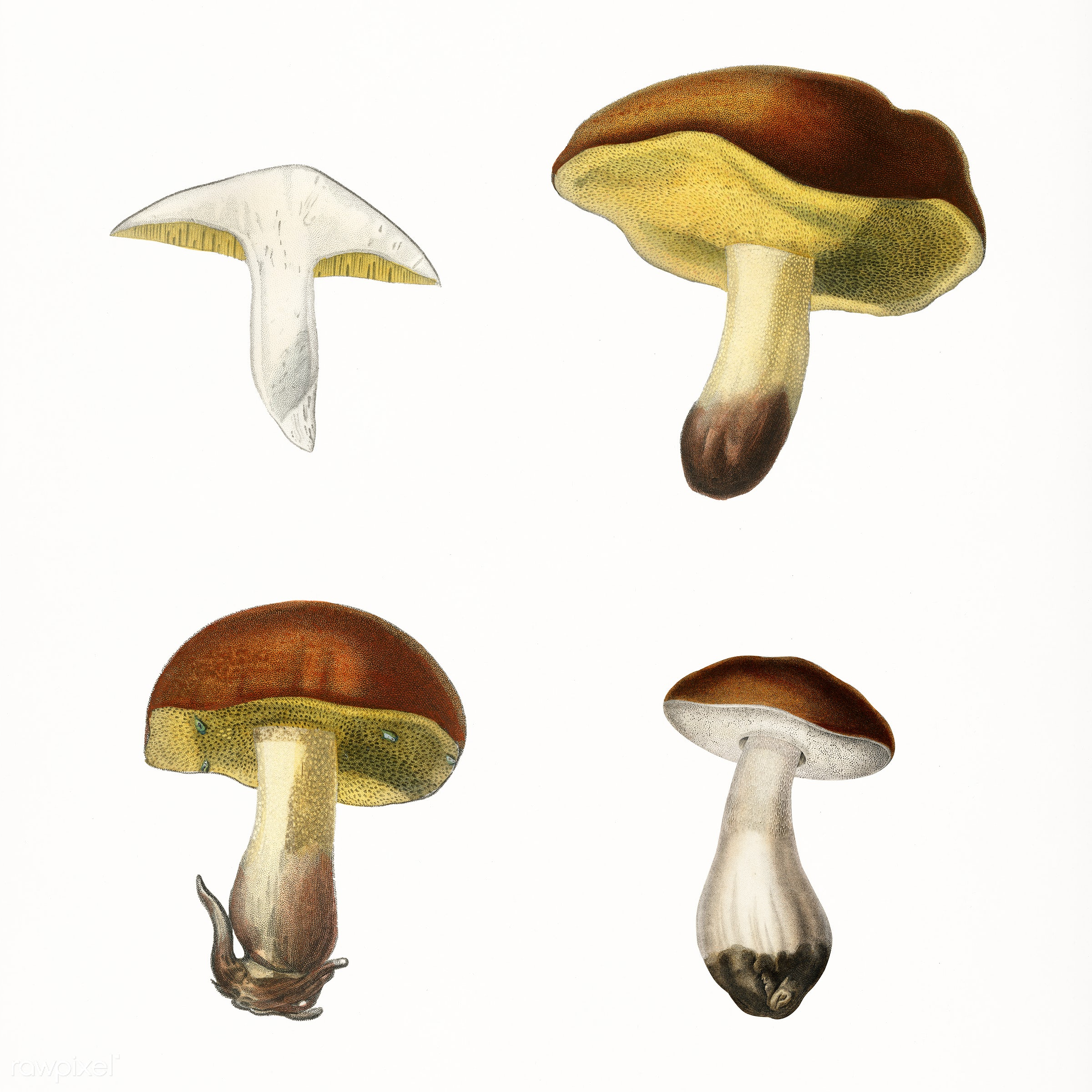 Different types of mushroom illustrated by Charles Dessalines D' Orbigny (1806-1876). Digitally enhanced from our own...