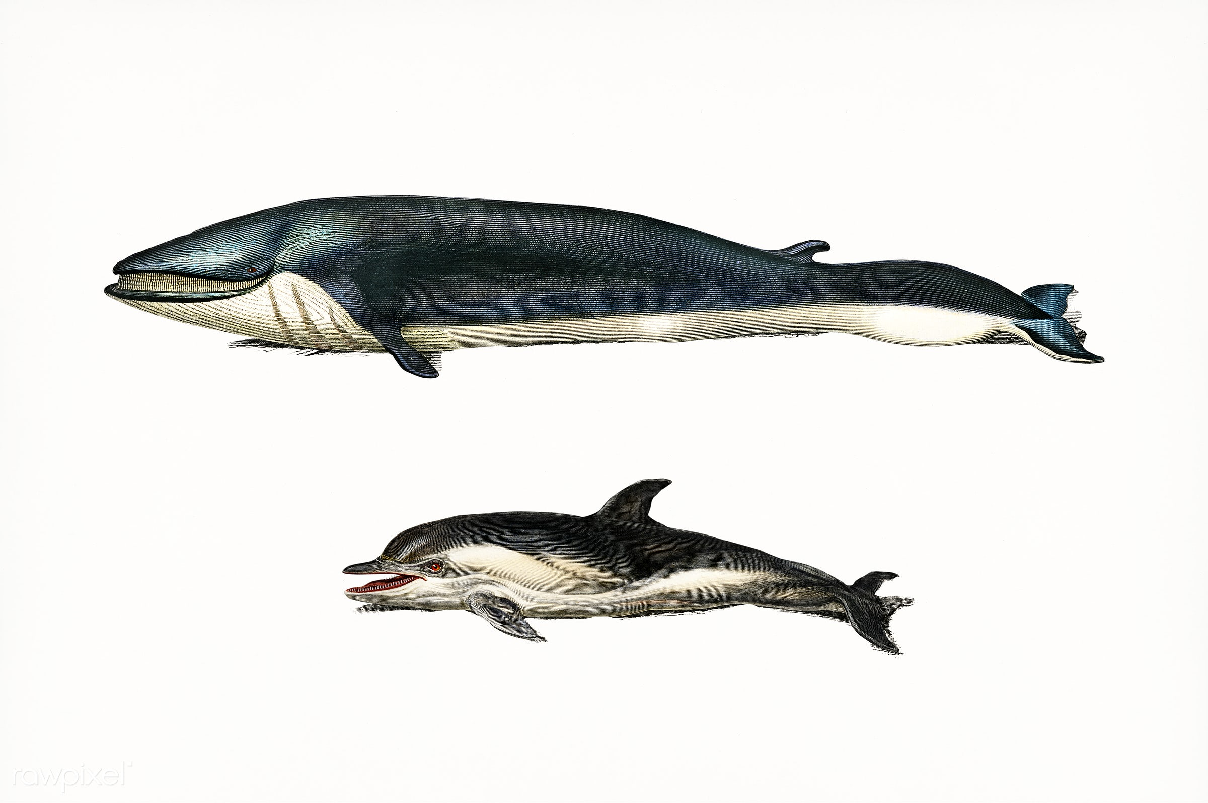 Whale and dolphins illustrated by Charles Dessalines D' Orbigny (1806-1876). Digitally enhanced from our own 1892...