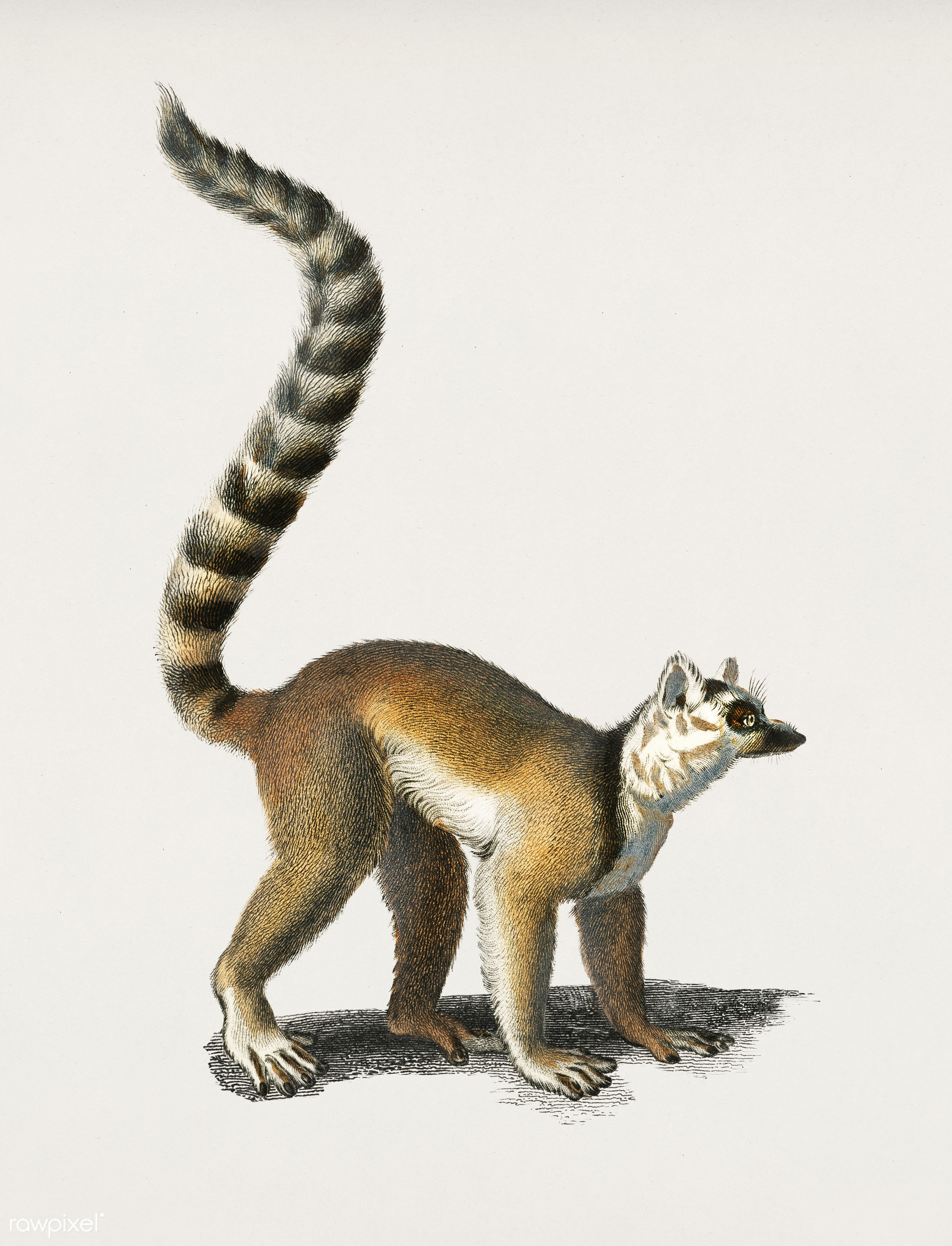 Ring-tailed Lemur (Lemur Catta) illustrated by Charles Dessalines D' Orbigny (1806-1876). Digitally enhanced from our...