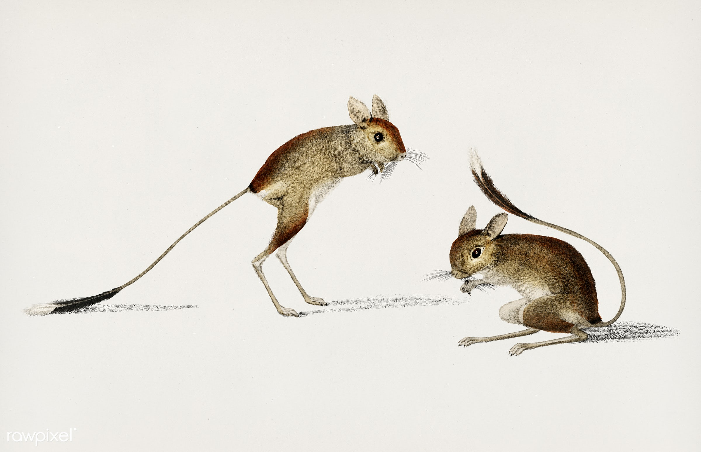 Jerboa (Dipus) illustrated by Charles Dessalines D' Orbigny (1806-1876). Digitally enhanced from our own 1892 edition of...