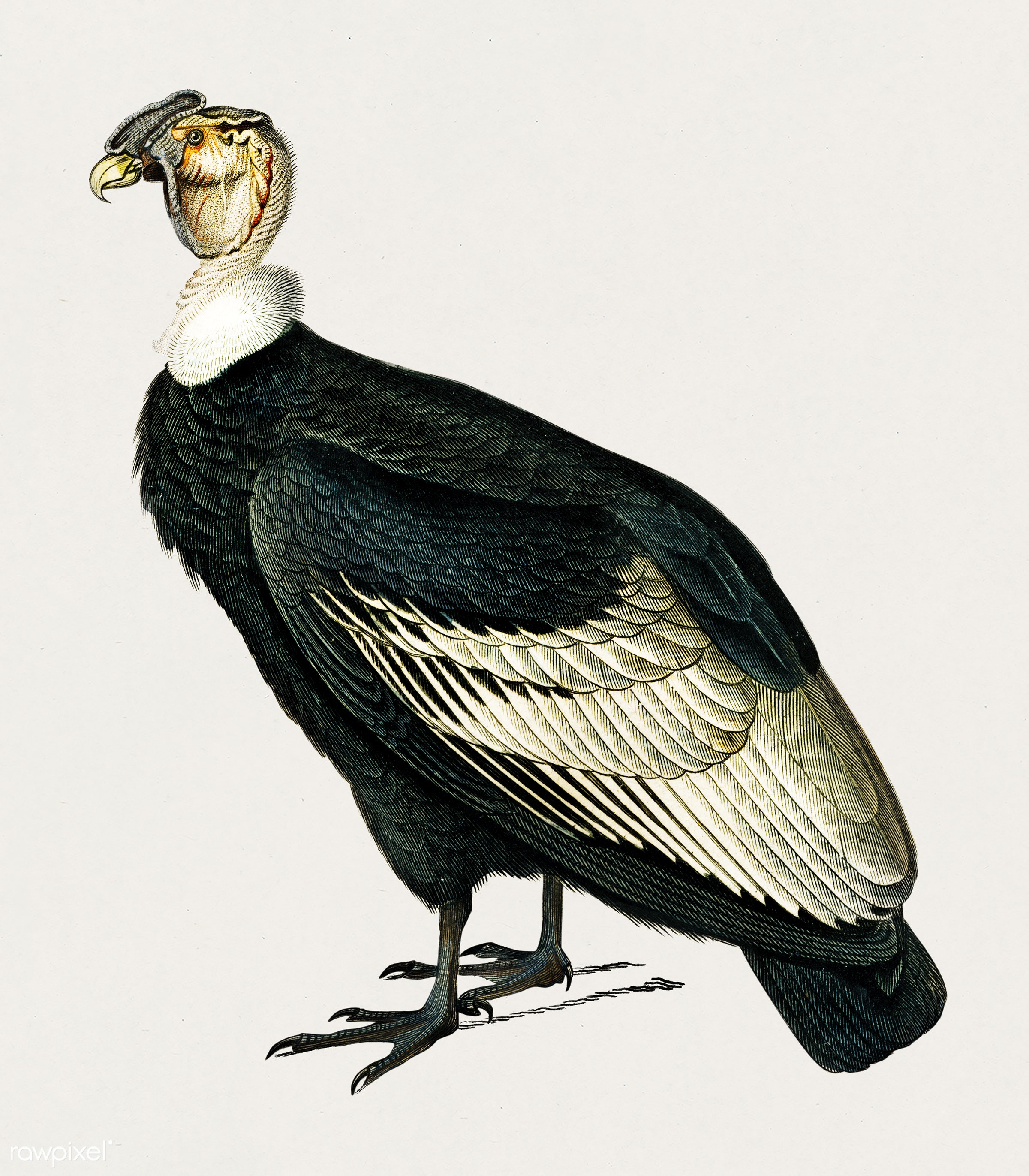 Andean condor (Vultur gryphus) illustrated by Charles Dessalines D' Orbigny (1806-1876). Digitally enhanced from our own...