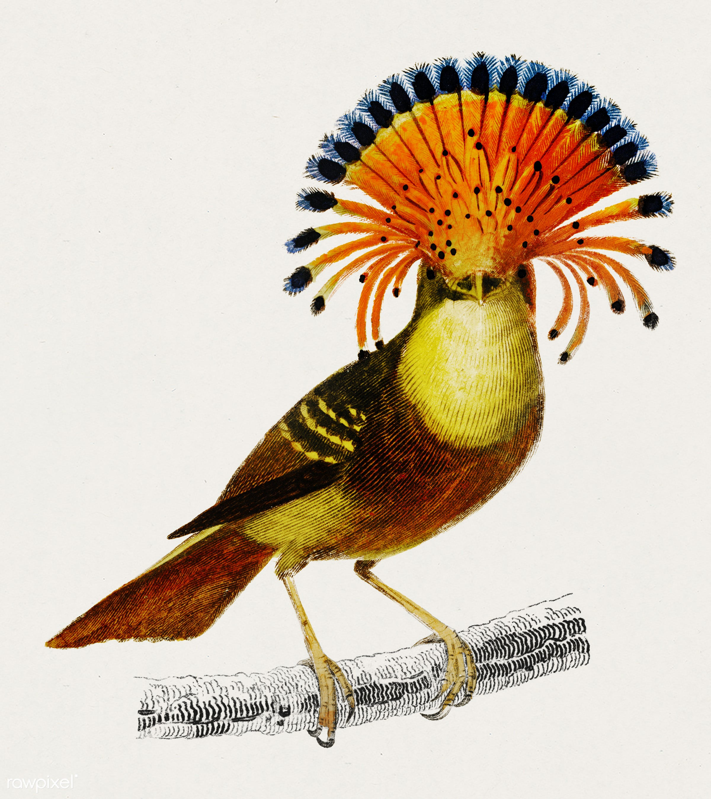 Royal flycatcher (Onychorhynchus) illustrated by Charles Dessalines D' Orbigny (1806-1876). Digitally enhanced from our...