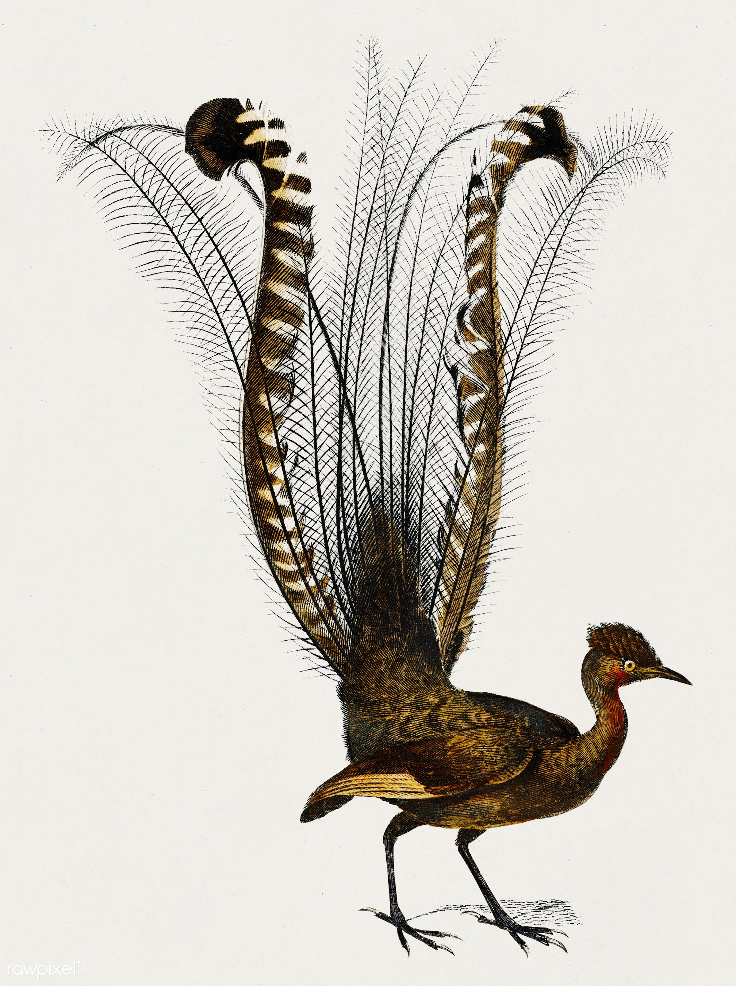 Lyebird (Menura) illustrated by Charles Dessalines D' Orbigny (1806-1876). Digitally enhanced from our own 1892 edition...