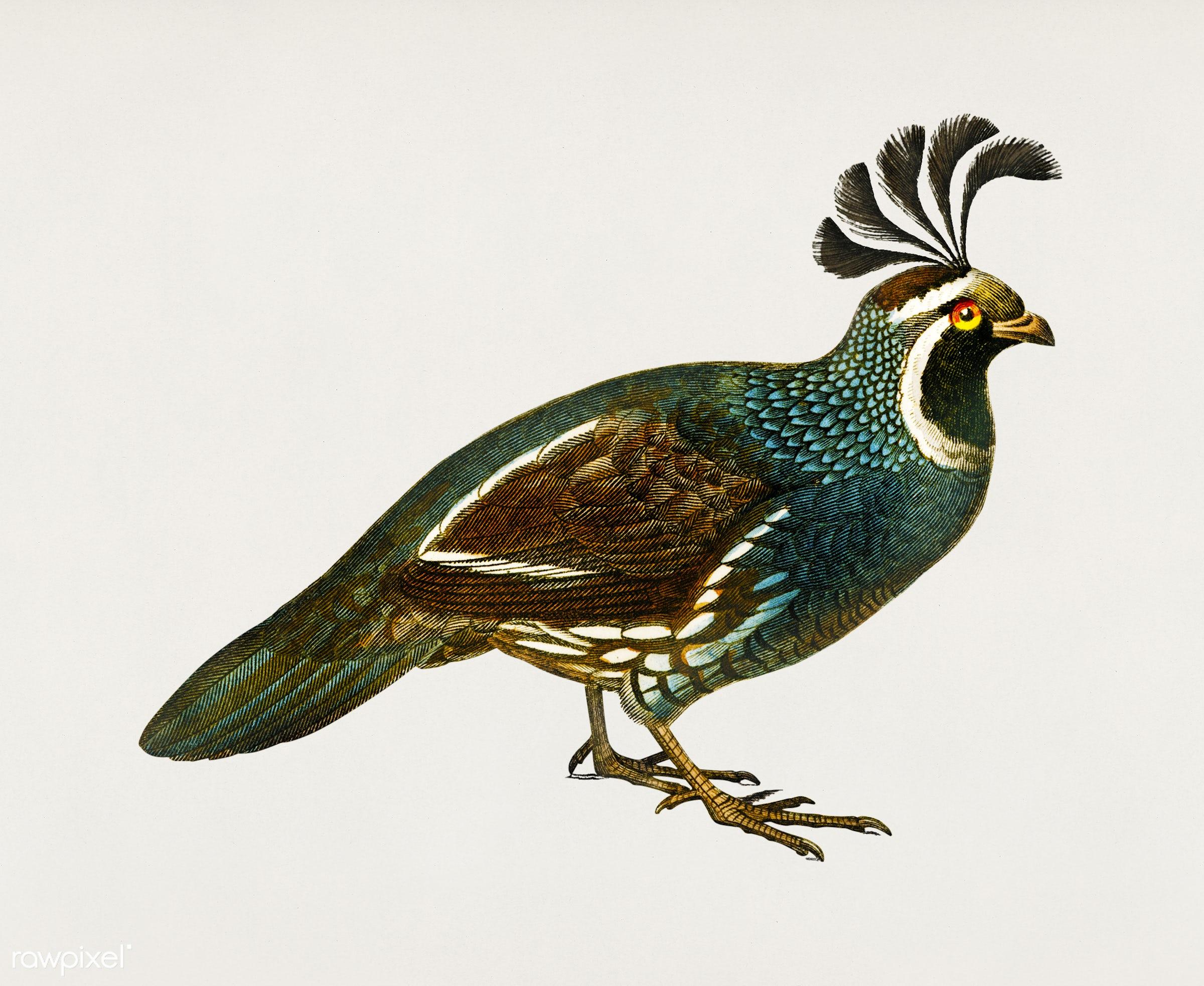 California quail (Callipepla californica) illustrated by Charles Dessalines D' Orbigny (1806-1876). Digitally enhanced...
