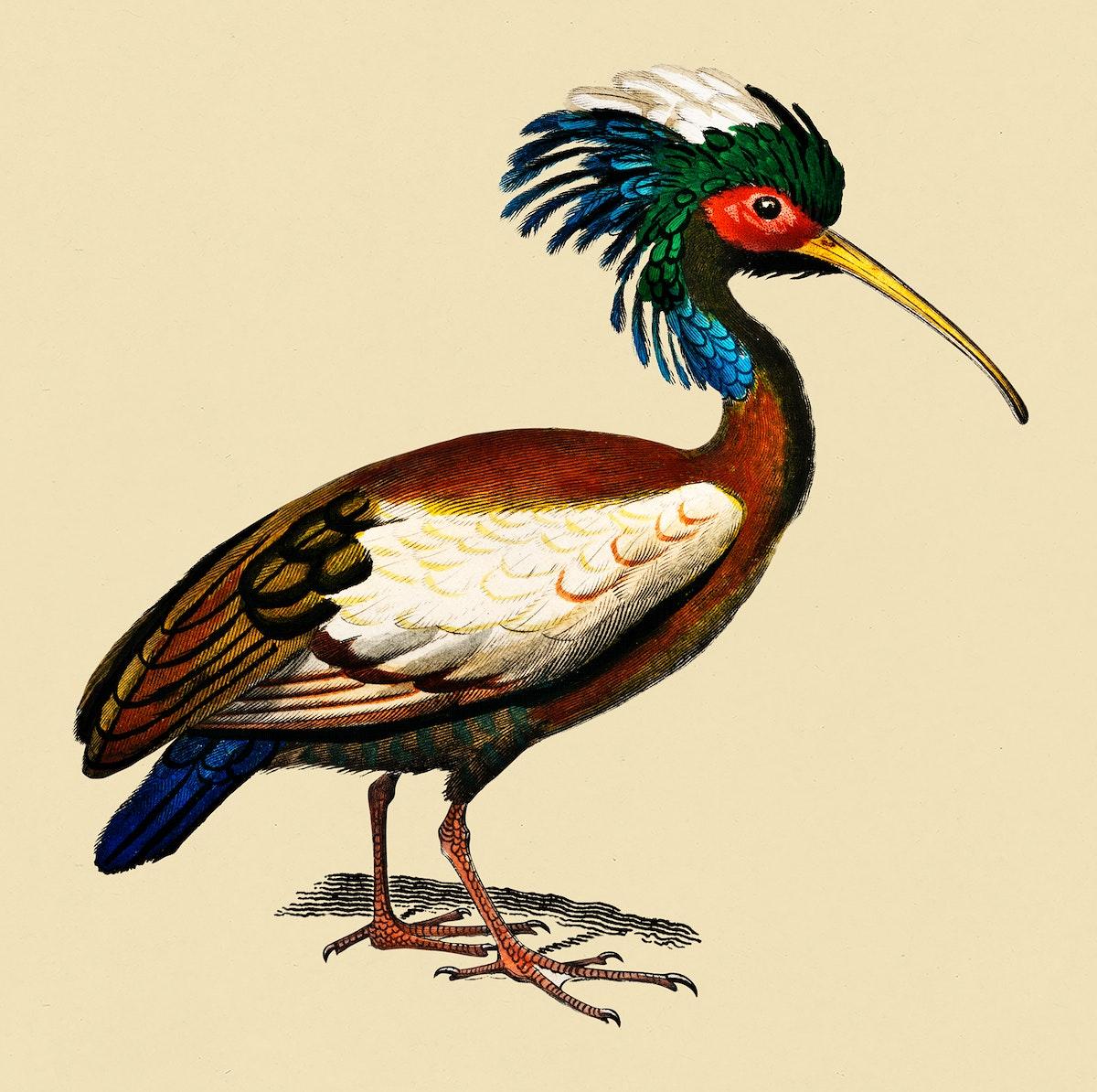 Vintage Illustration of Madagascan ibis.