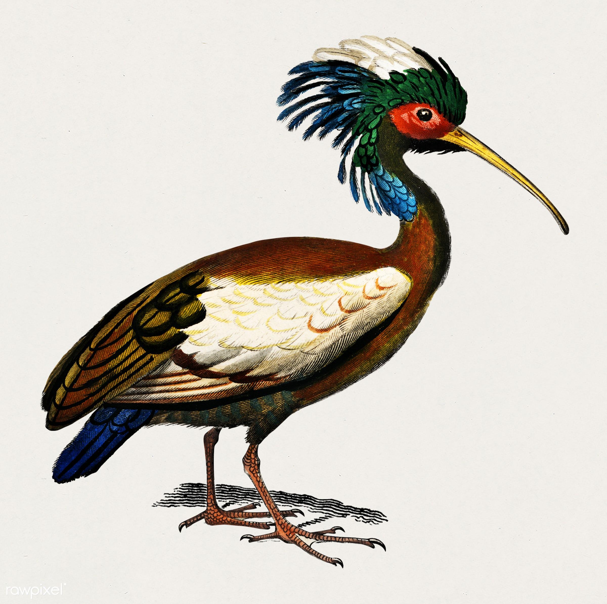 Madagascan ibis (Lophotibis cristata) illustrated by Charles Dessalines D' Orbigny (1806-1876). Digitally enhanced from...