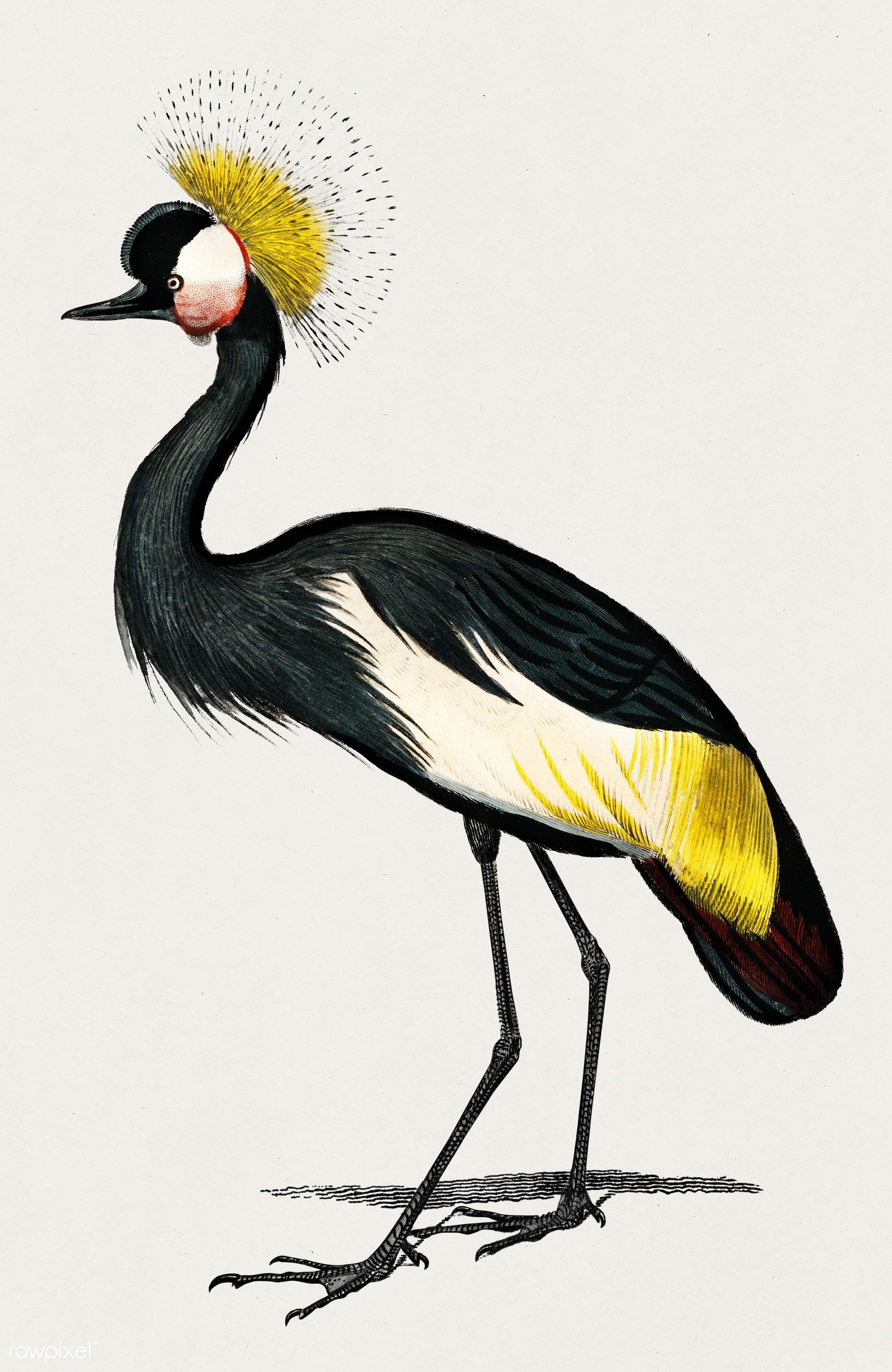 Black crowned crane (Balearica pavonina) illustrated by Charles Dessalines D' Orbigny (1806-1876). Digitally enhanced...