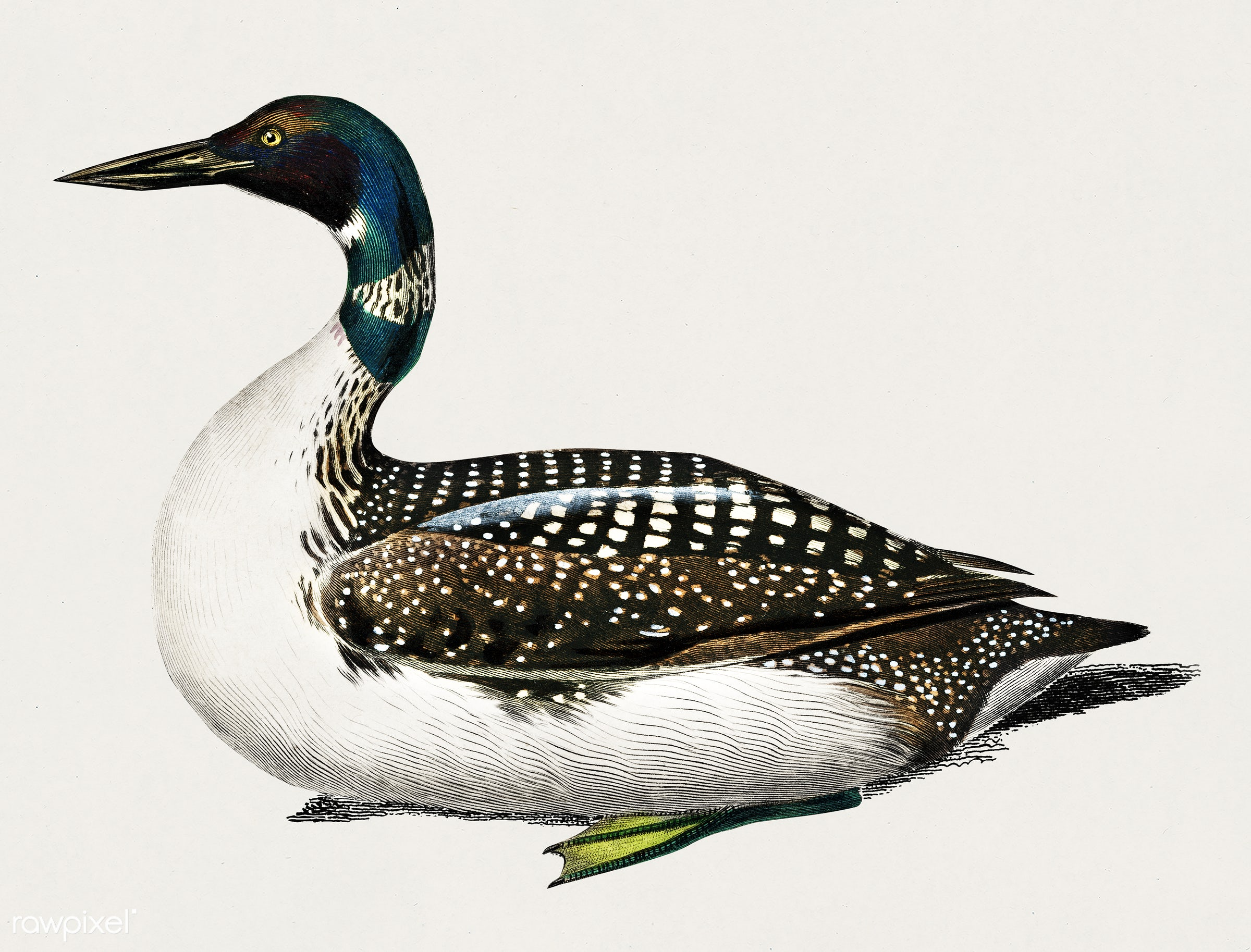 Loon (Gavia) illustrated by Charles Dessalines D' Orbigny (1806-1876). Digitally enhanced from our own 1892 edition of...